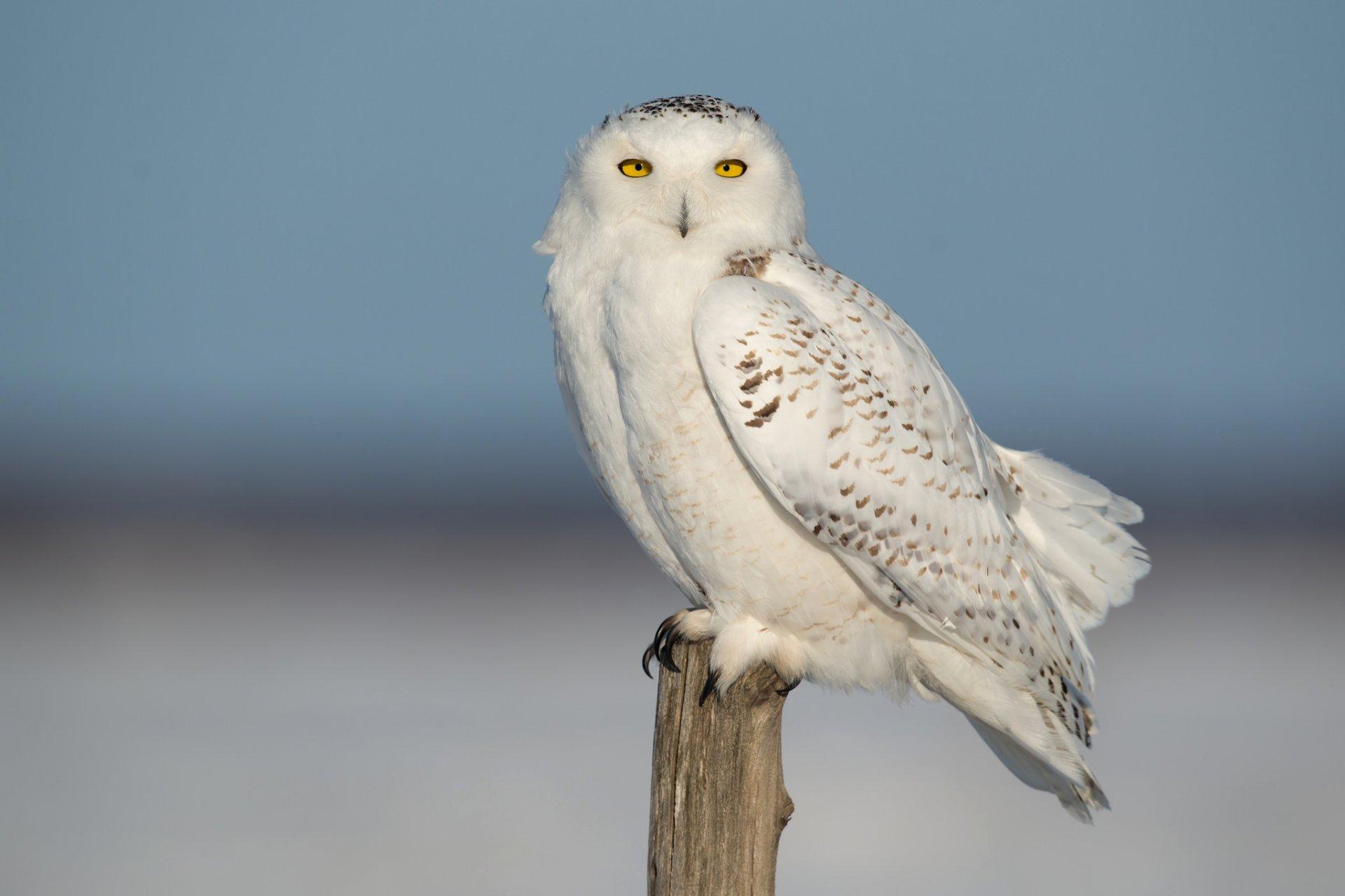 Рождением, красивые совята белой совы картинки