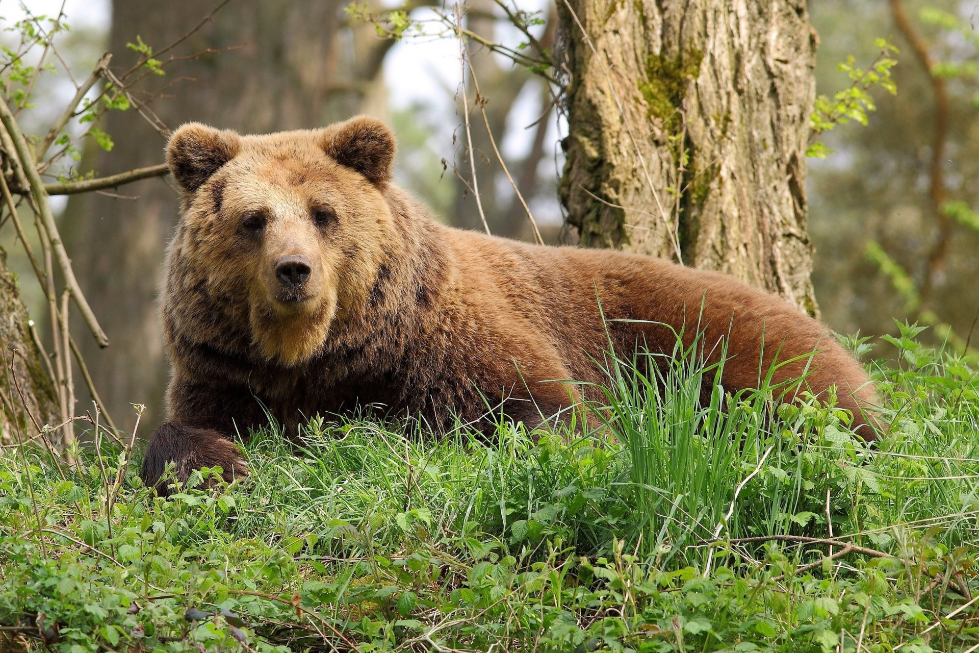 Медведь напал на сборщика черемши в Хабаровском крае