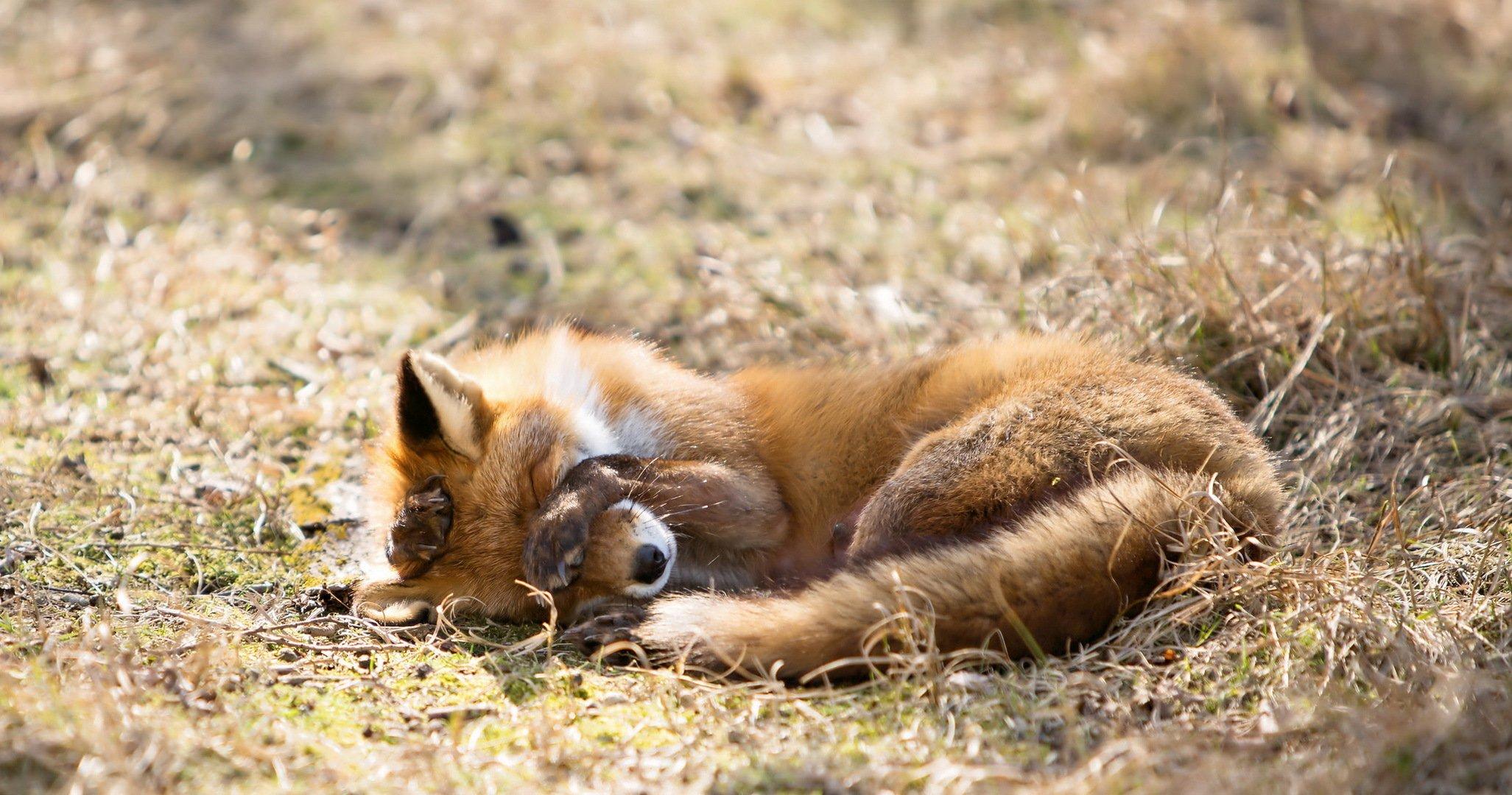 Обои морда, спит, лис. Лисы foto 13