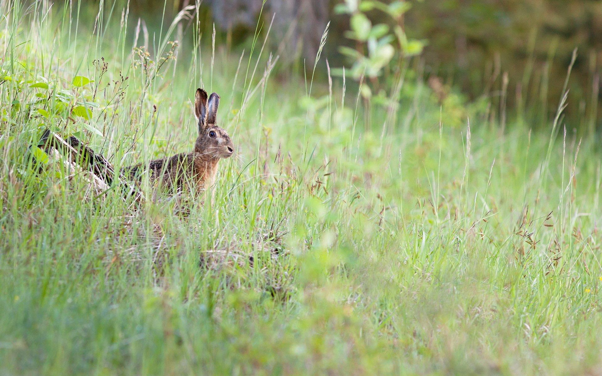 природа животные заяц nature animals hare  № 103288  скачать