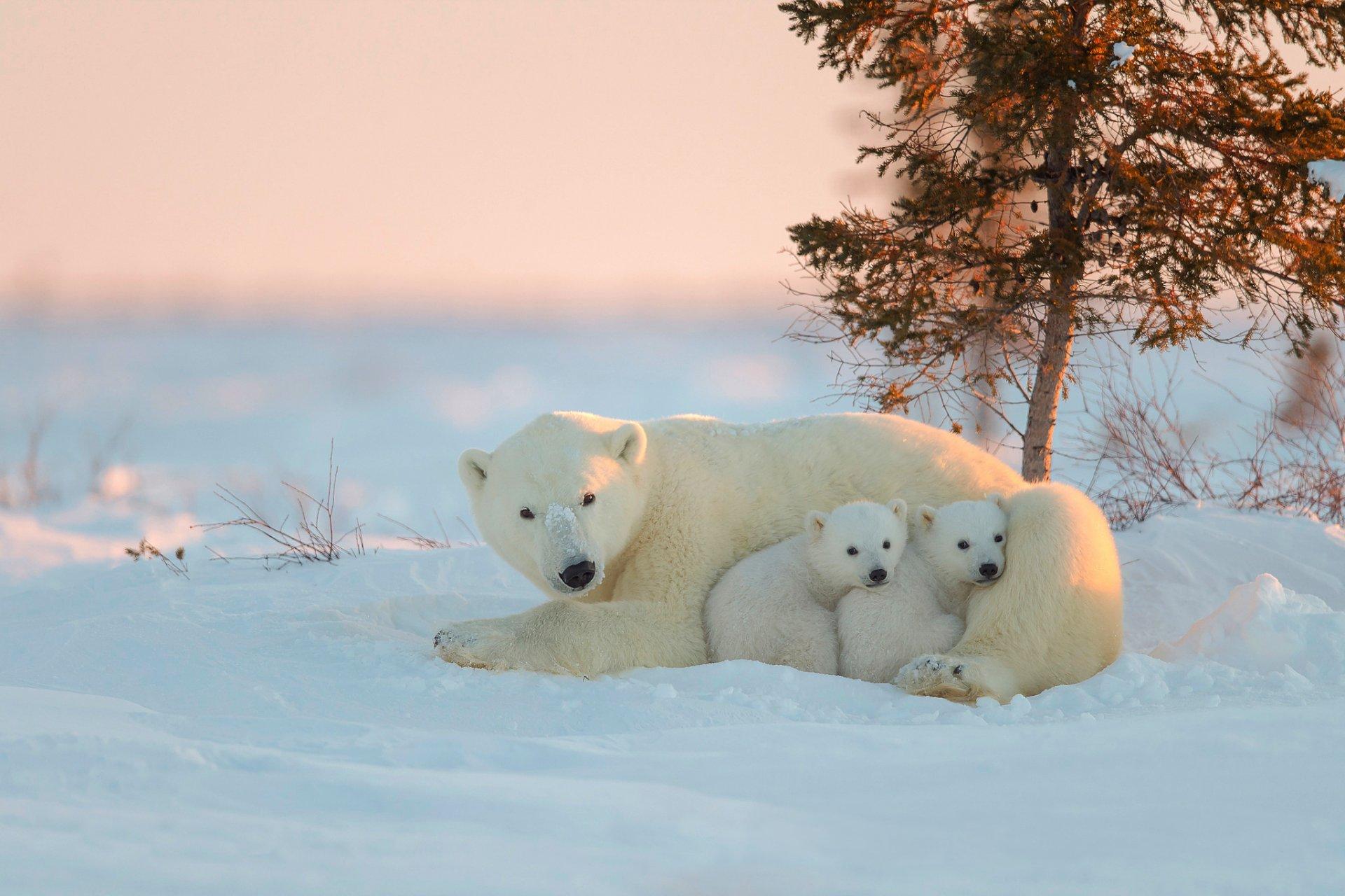 сделать фото белого медведицы с медвежатами стала последним обитаемых