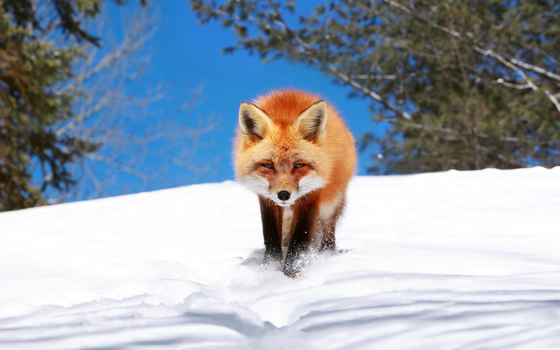 лиса природа животное снег зима бесплатно