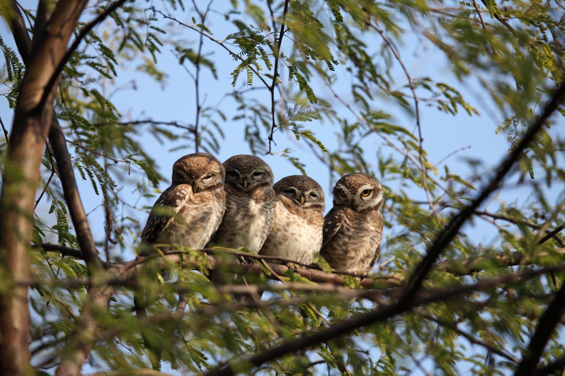Совы ветка дерево животные  № 586294  скачать