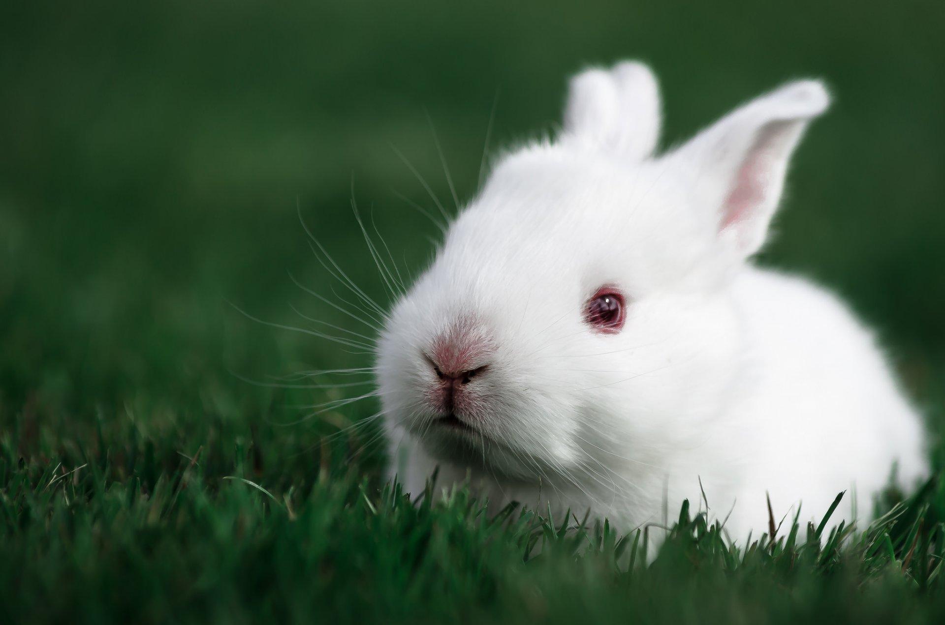 белый кролик фотки