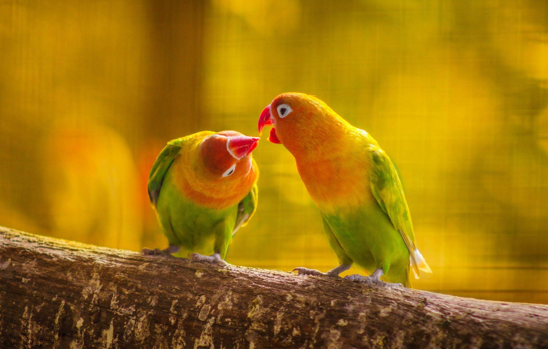 природа животные синий волнистый попугай бесплатно