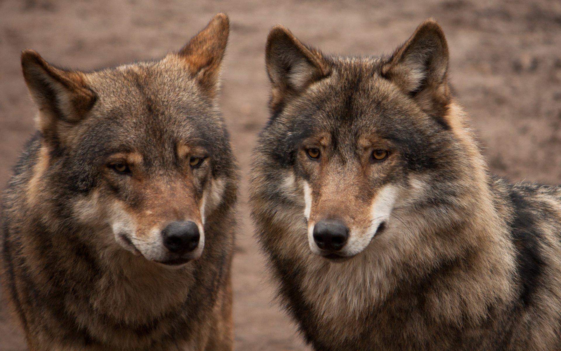 вкусу на телефон фото пара волков ступени дпк