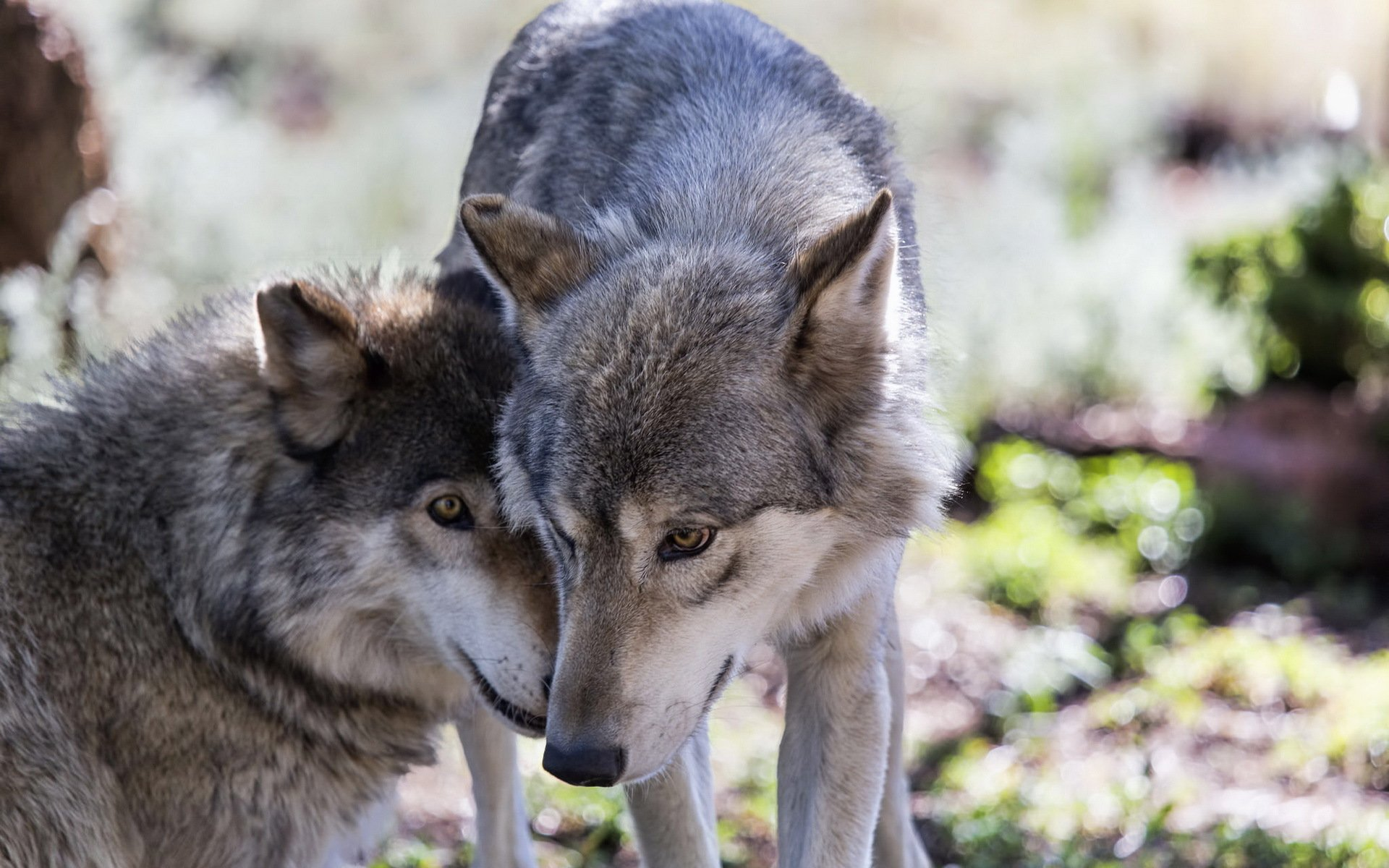 Картинки большое разрешение волк