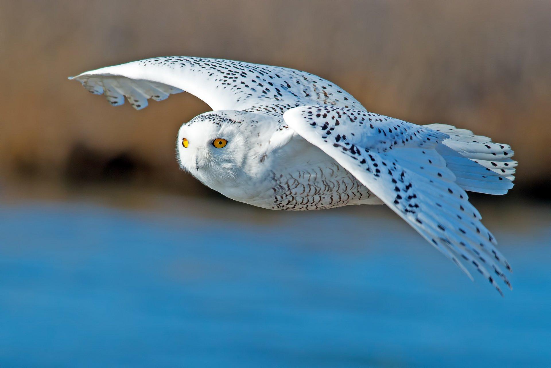 только приобрести полярная белая сова фото понять всю историю