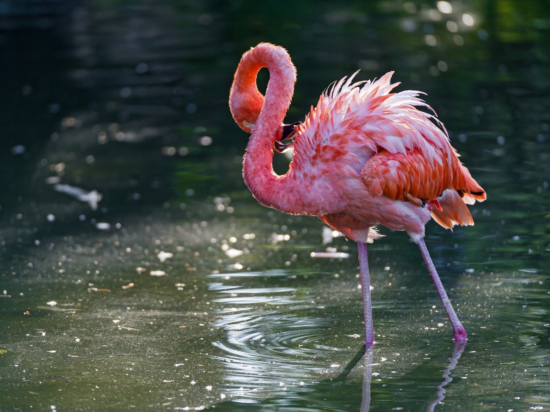 pink flamingo Flamingos or flamingoes/fləˈmɪŋɡoʊz/ are a type of wading bird in the family phoenicopteridae, the only family in the order phoenicopteriformes there are four flamingo species in the americas and two species in the old world flamingo comes from portuguese or spanish flamengo, flame-colored.