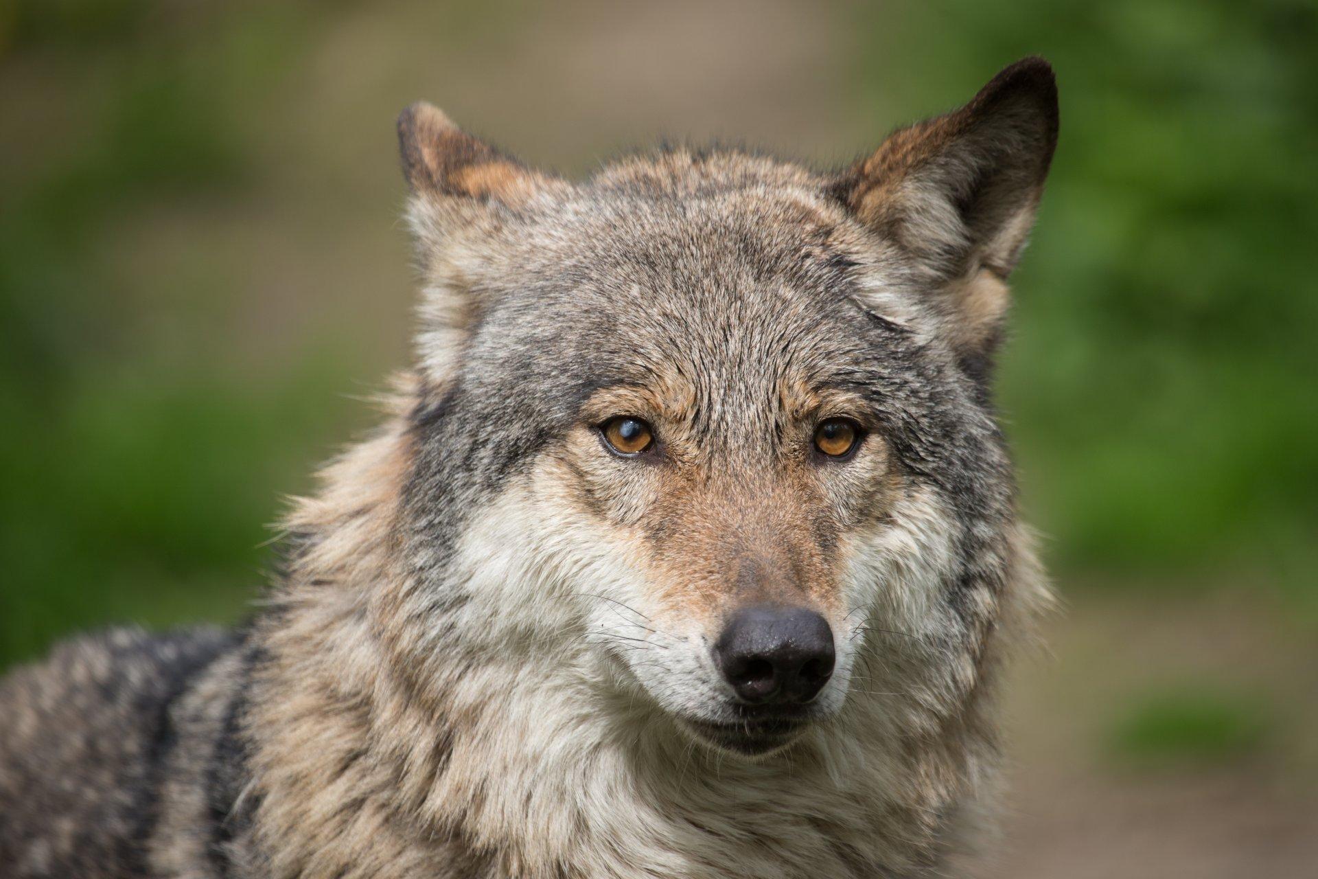 картинки серые волки на телефон