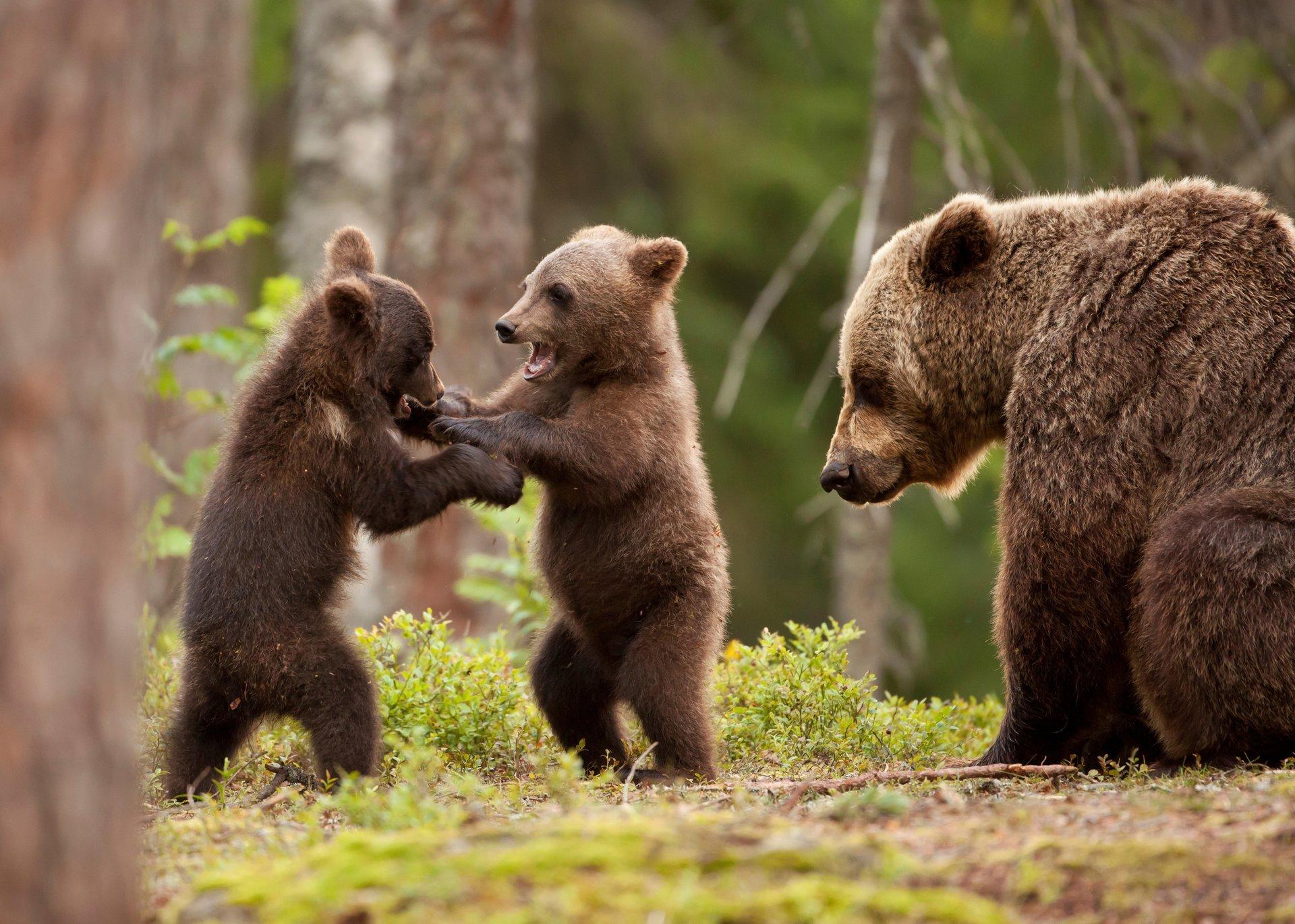 есть второе, картинки медведица и три медвежонка все