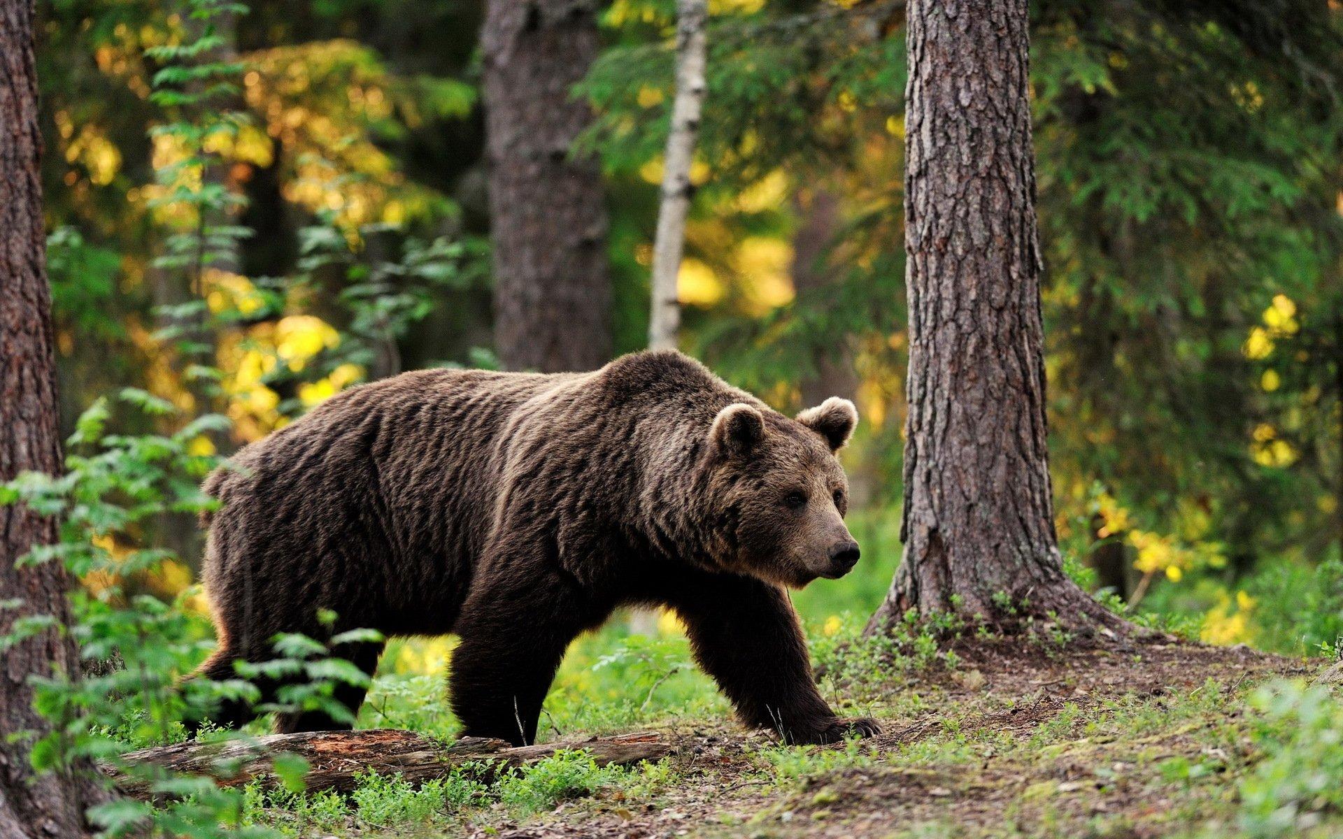 Обои Медведь, медведица, медвежата, ursus maritimus. Животные foto 19