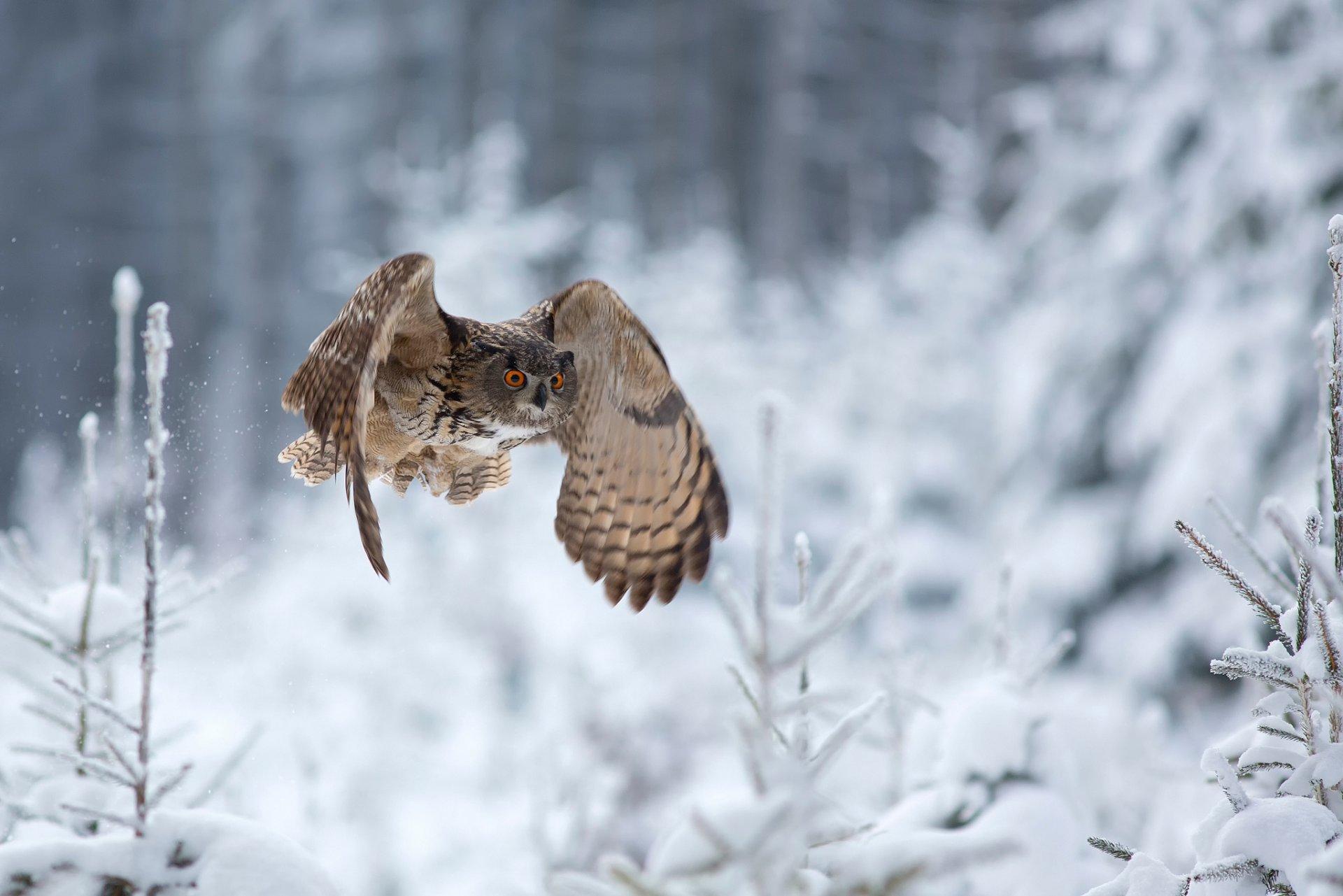 банковскую картинки совы зимой в лесу уж