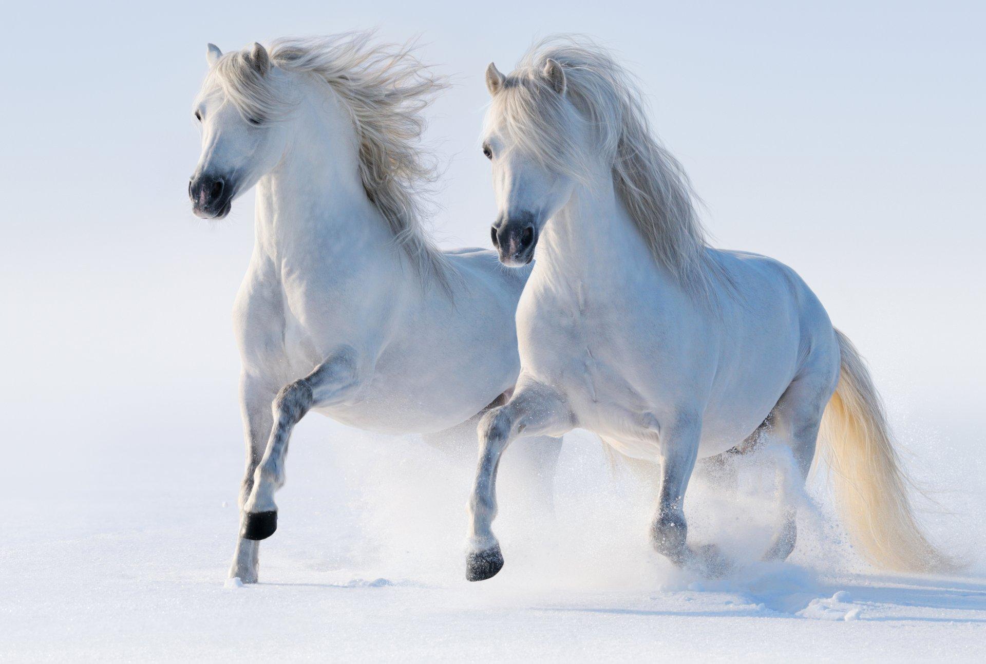 Running white horse wallpapers