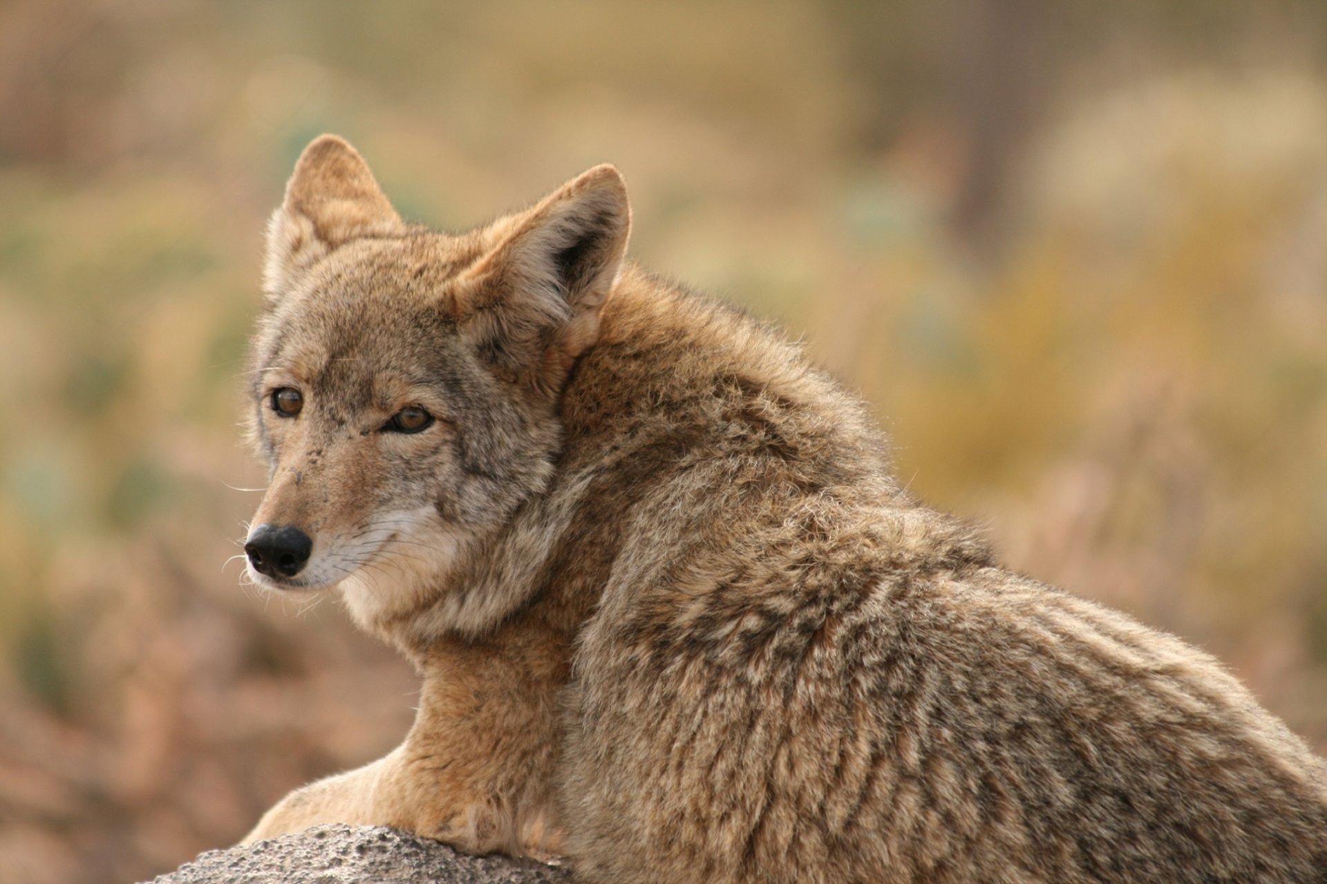 степной волк фото животное заметили