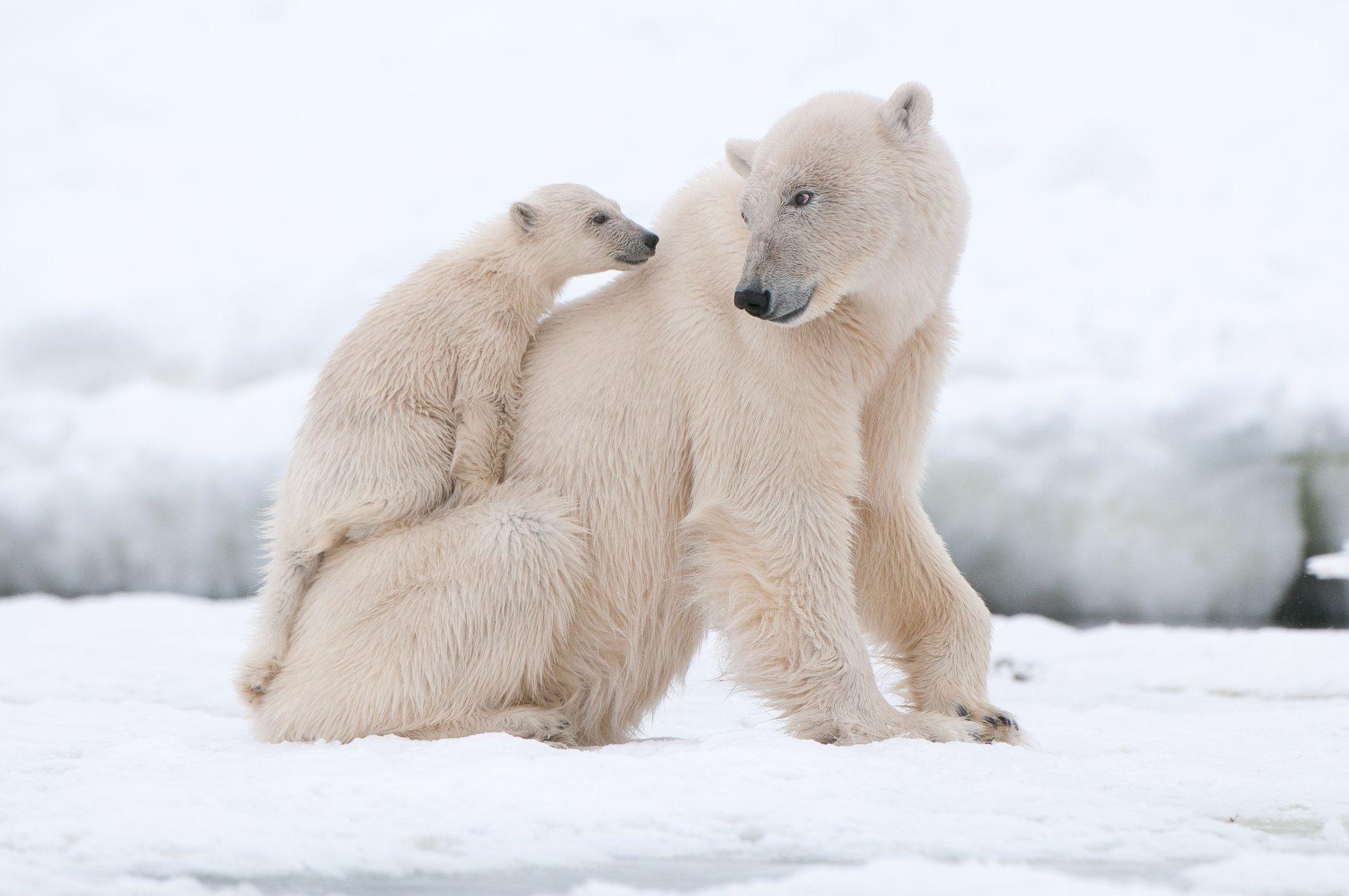 Днем рождения, картинка с белым медведем и медвежонком