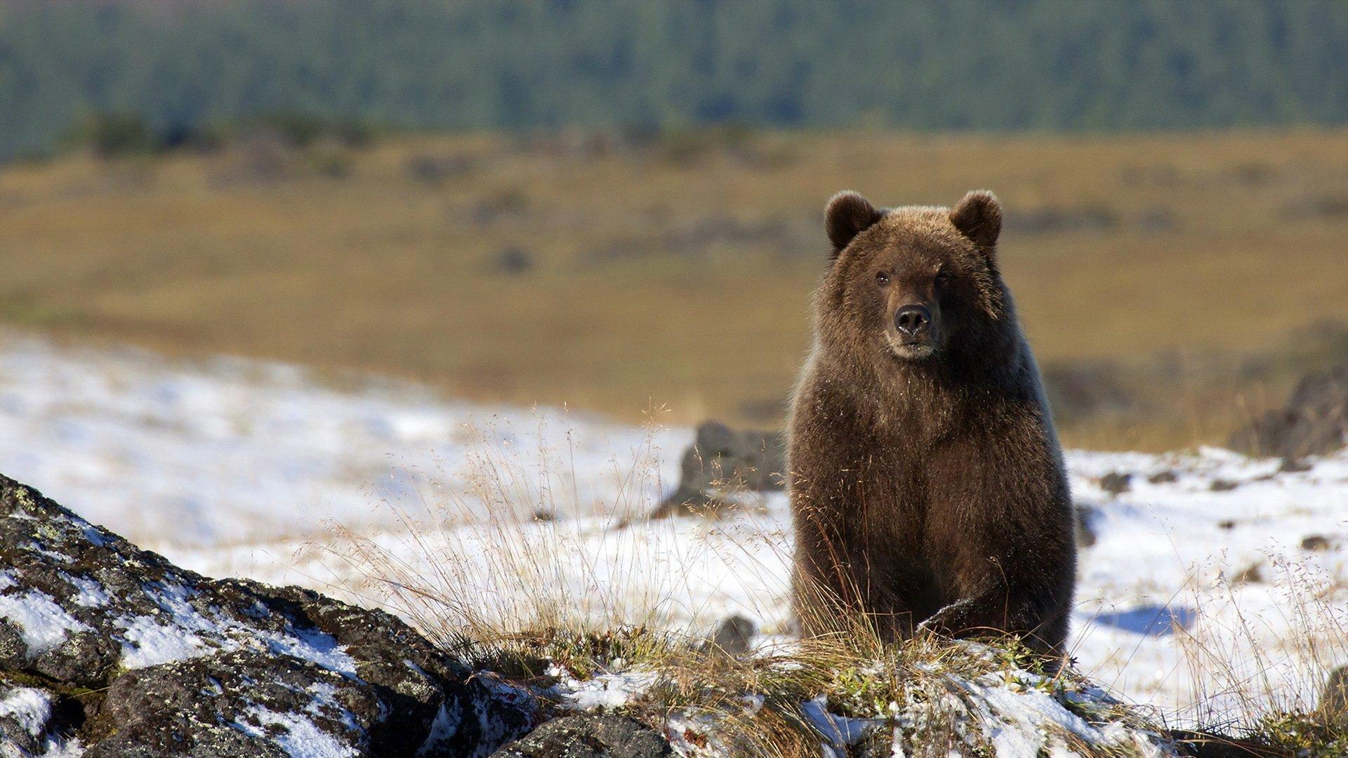 Медеведь бурый лес зима скачать