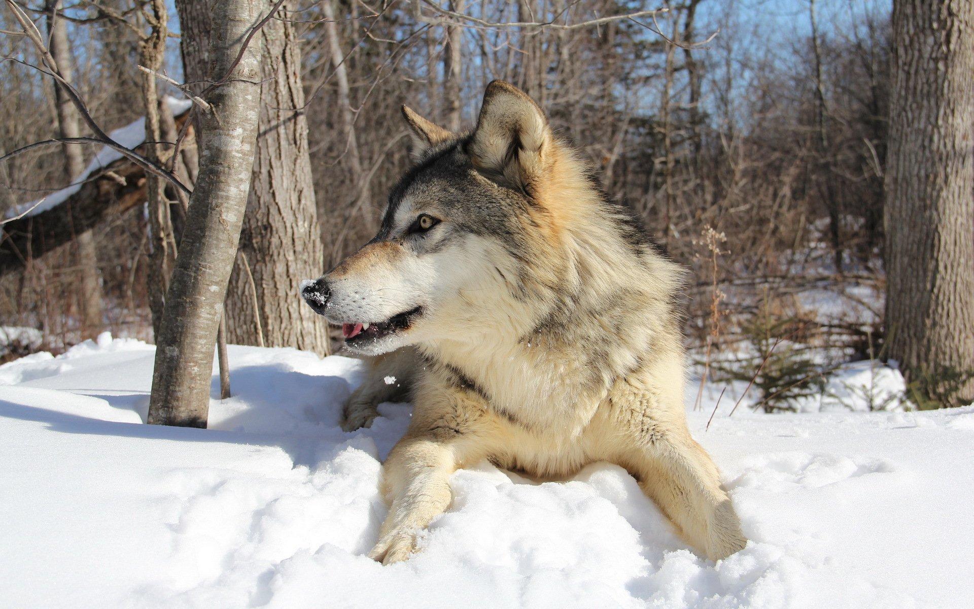 явление сибирский волк зимой фото отмечают качественную отделку