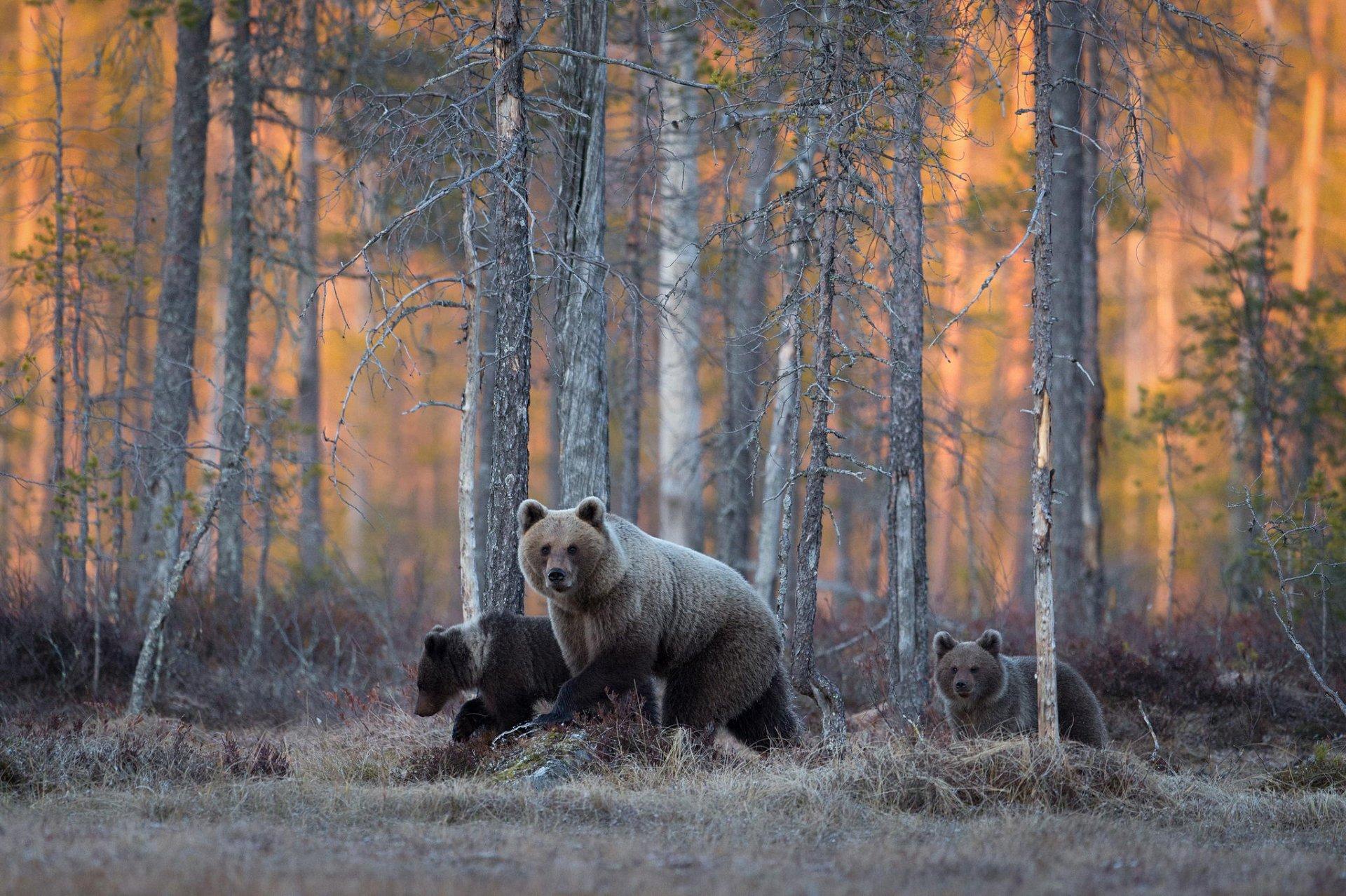 Медведь без смс