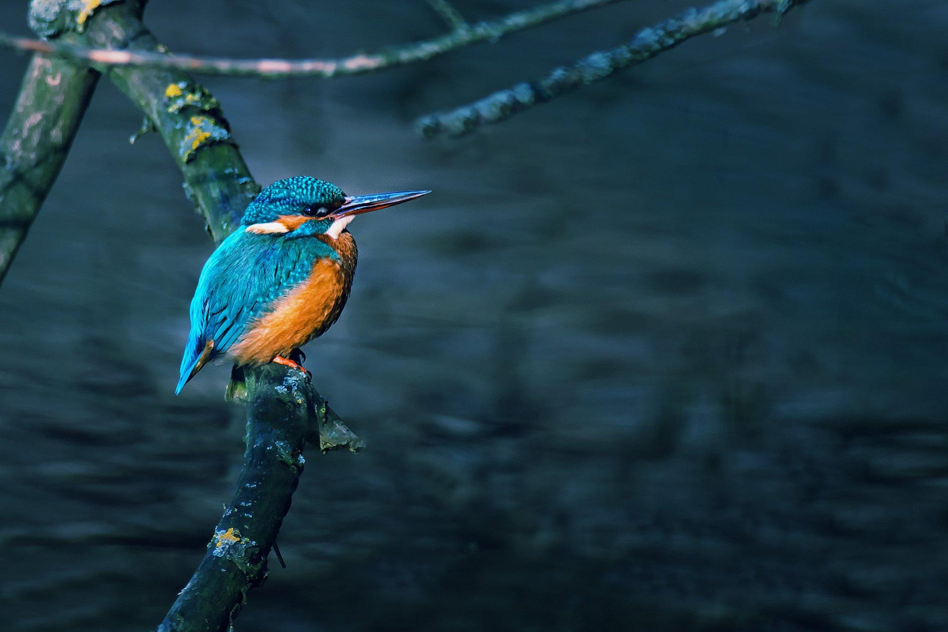 Kingfisher bird wallpaper
