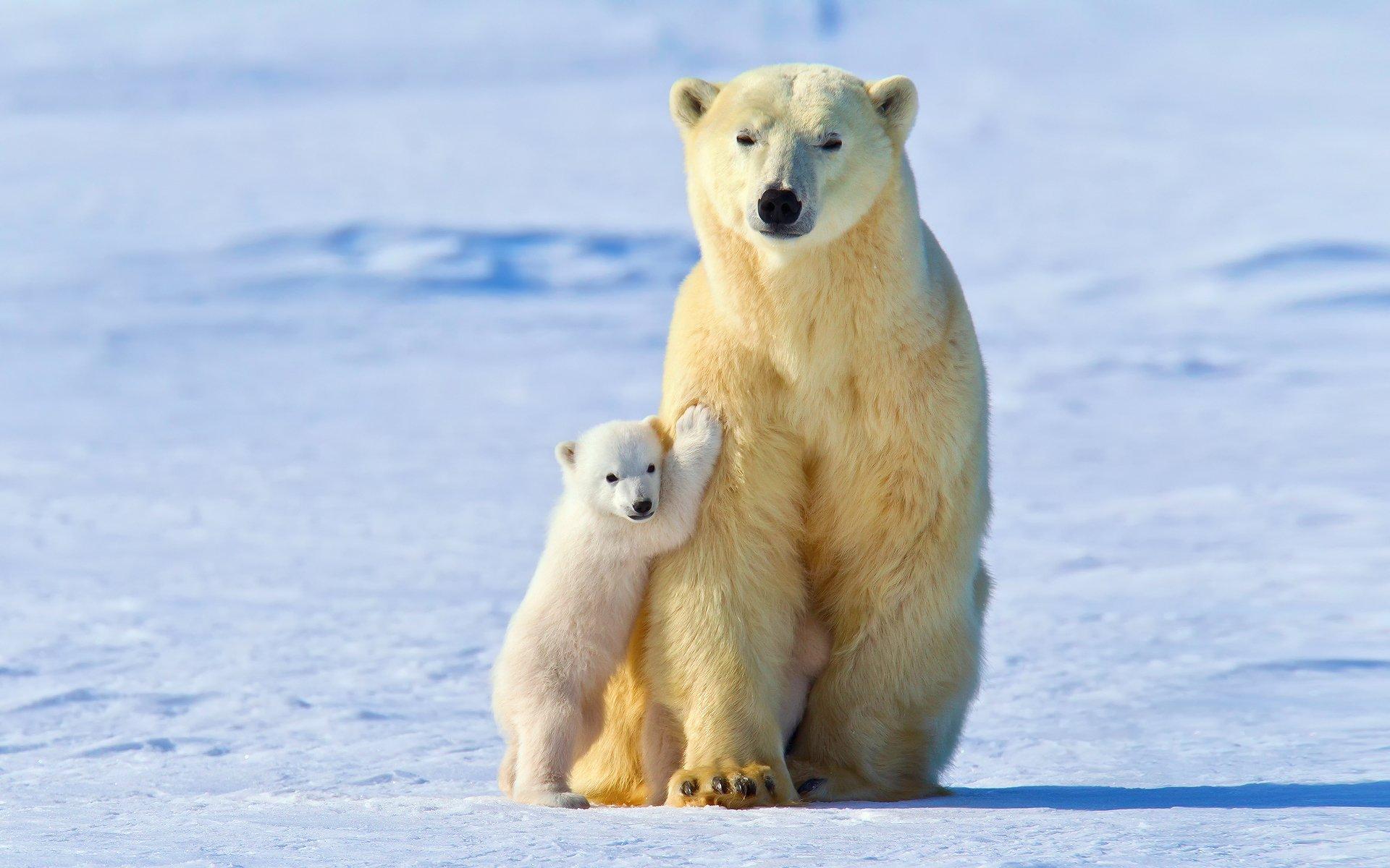 Обои Медведь, медведица, медвежата, ursus maritimus. Животные foto 13