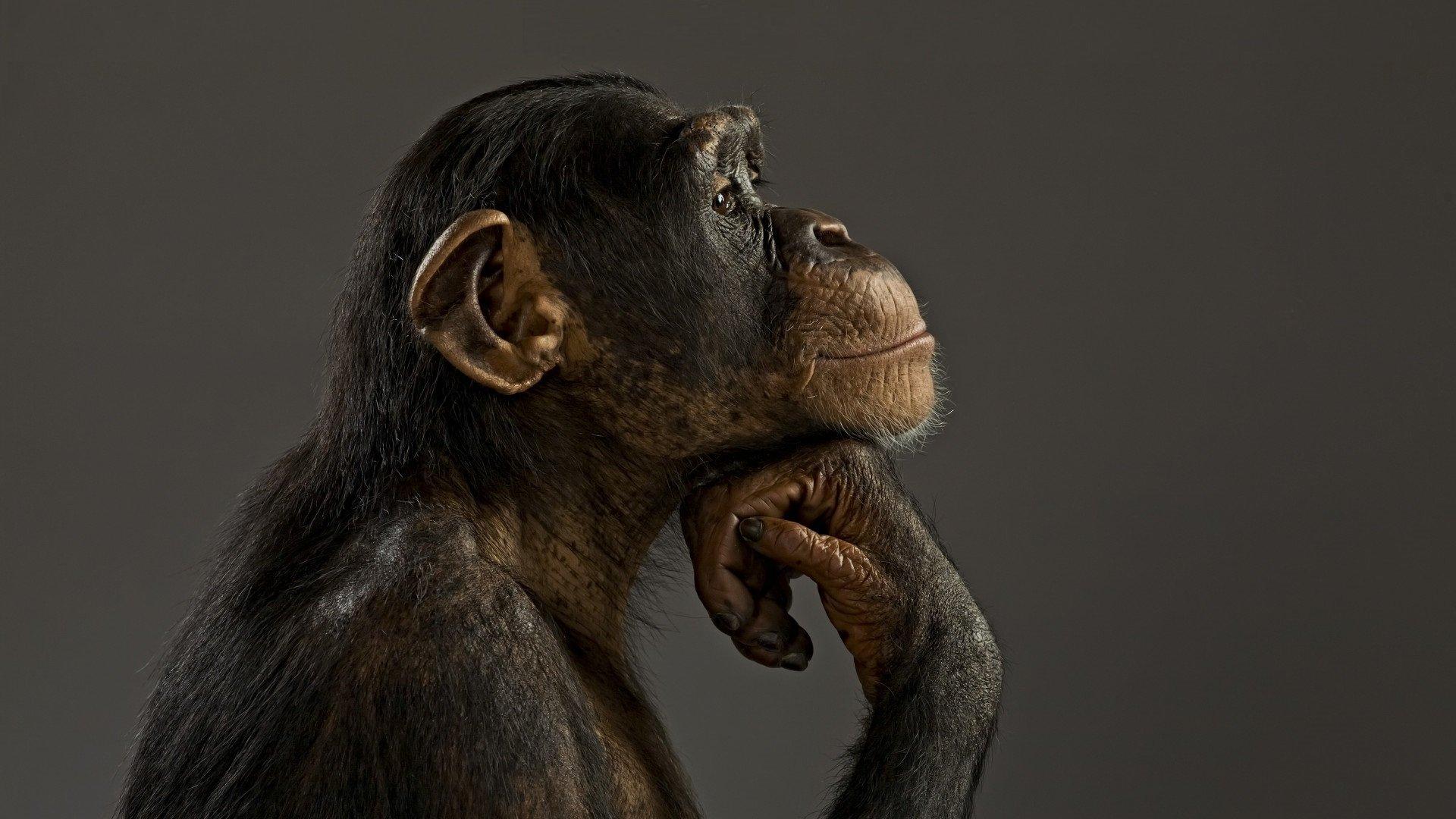 обезьяны на столе картинка это