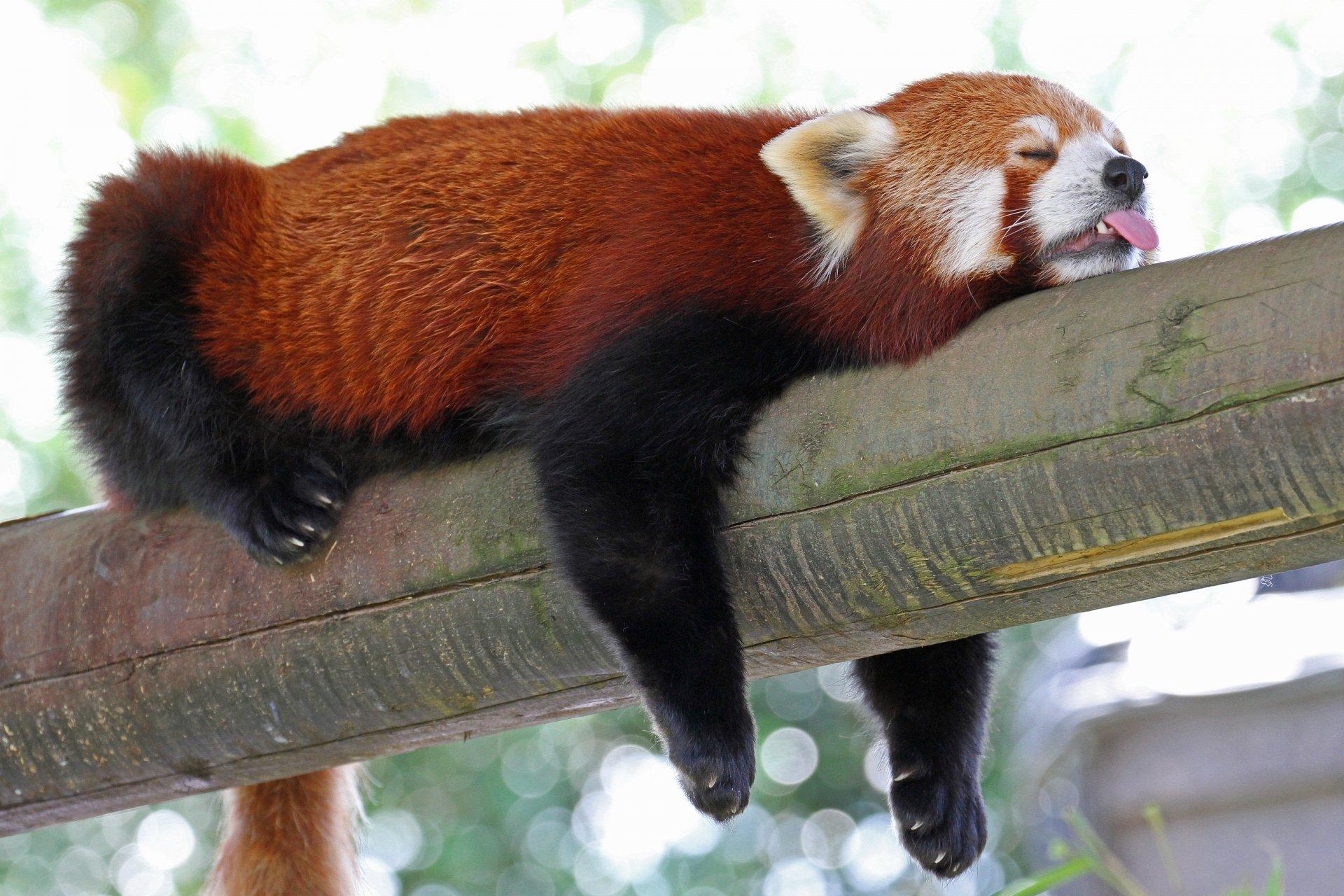 Картинки малой панды