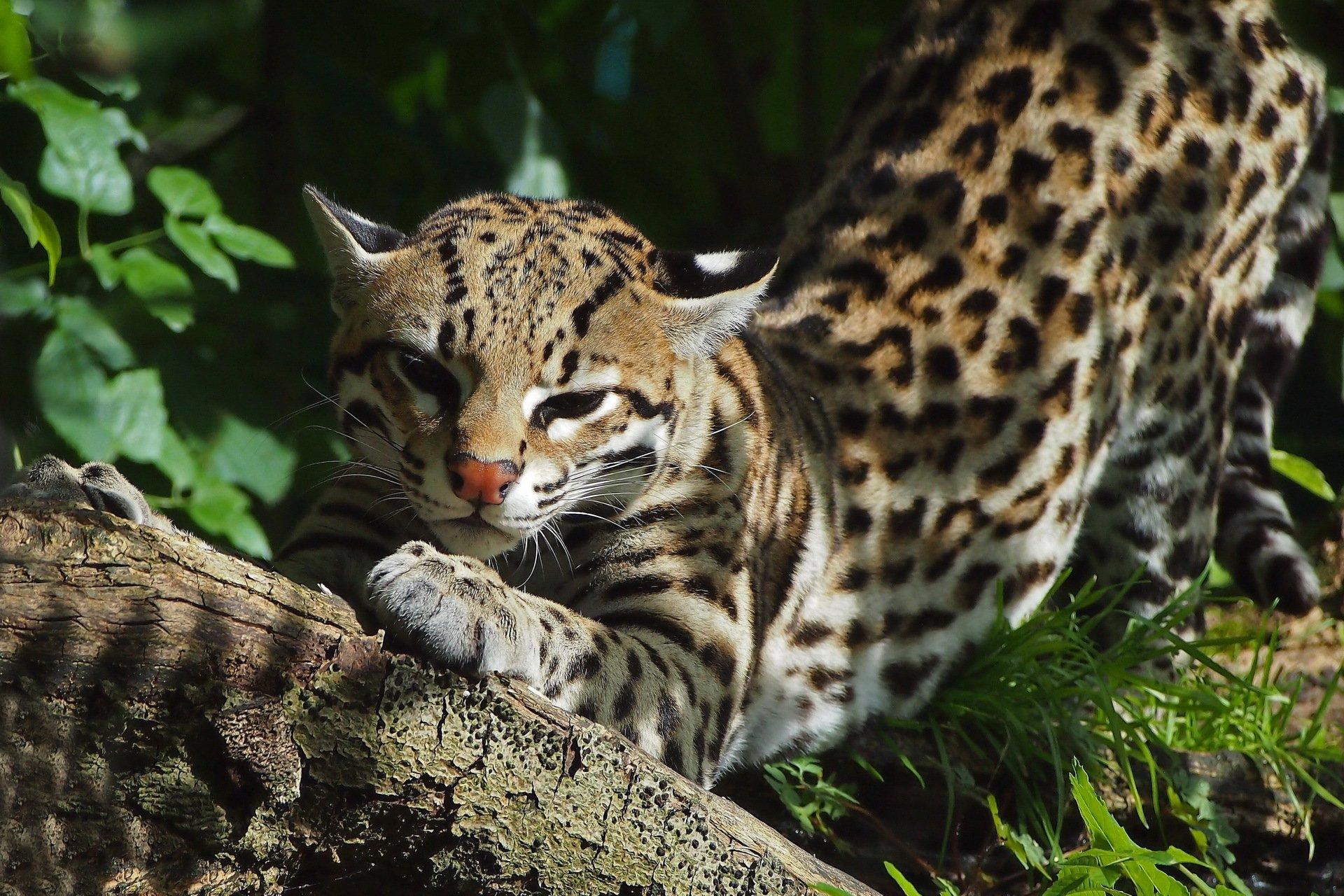 дикие кошки мира фото и названия природа