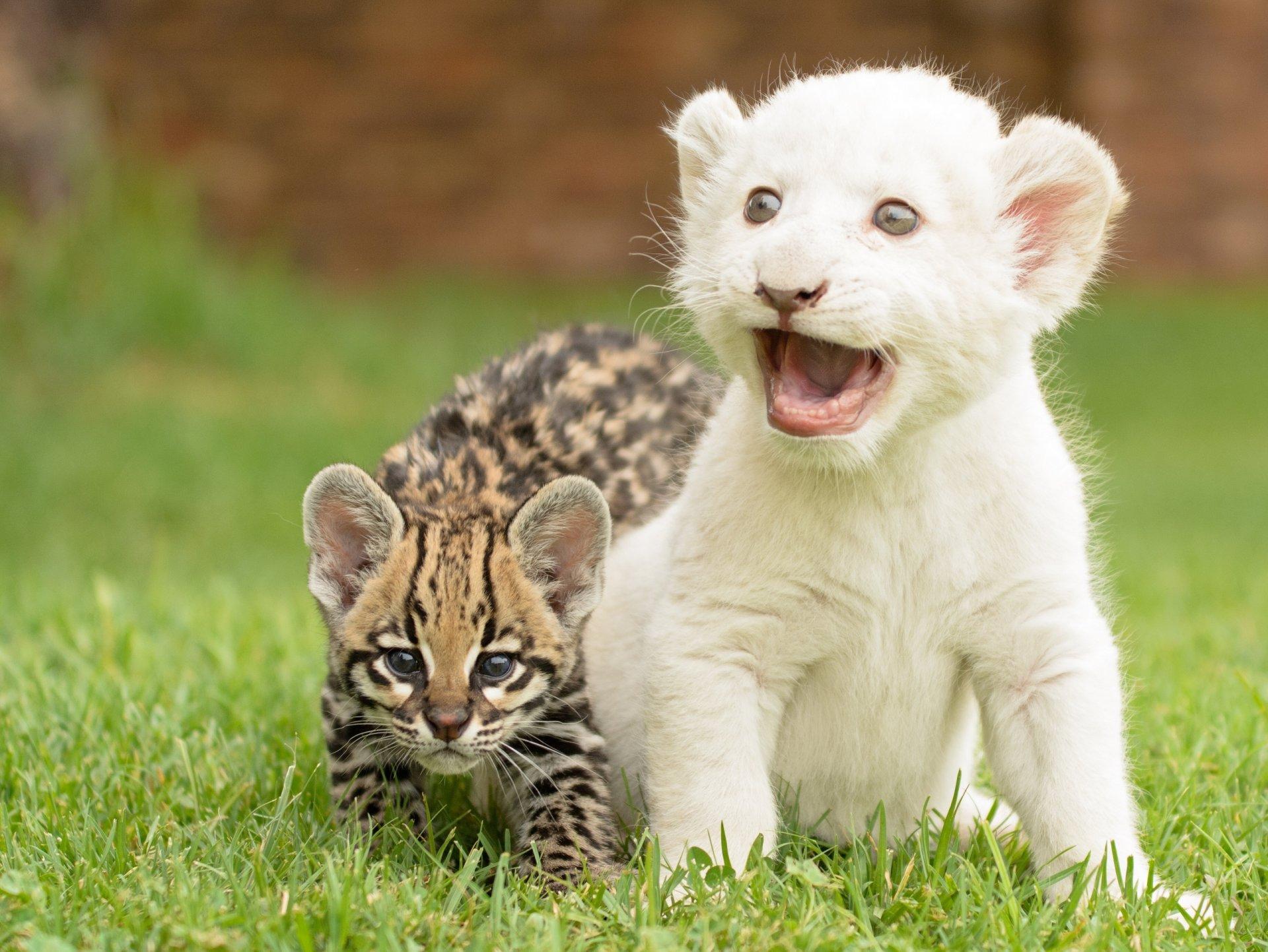 Обои котята, Рысь, детёныши, дикая кошка. Кошки foto 19