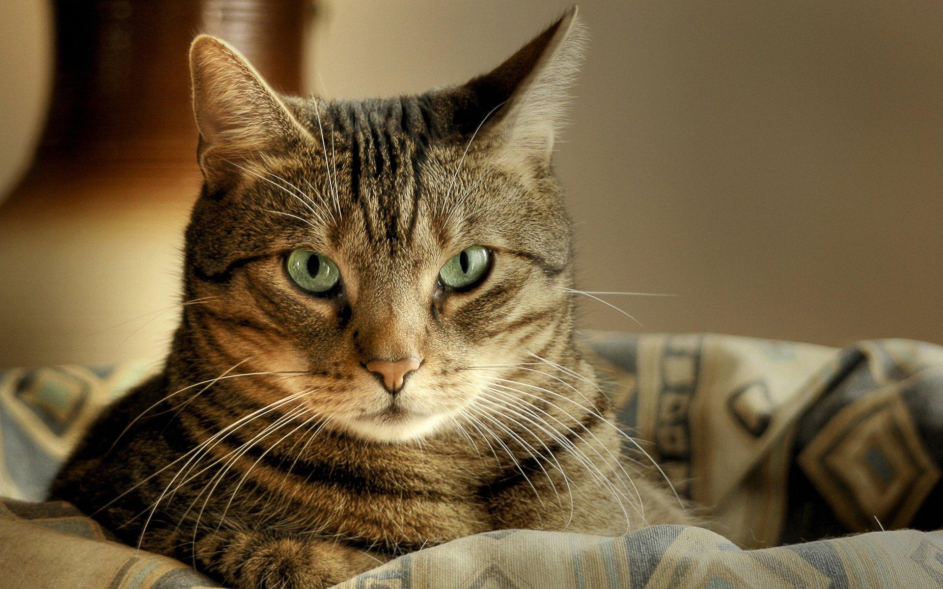 Кошка полосатая картинка