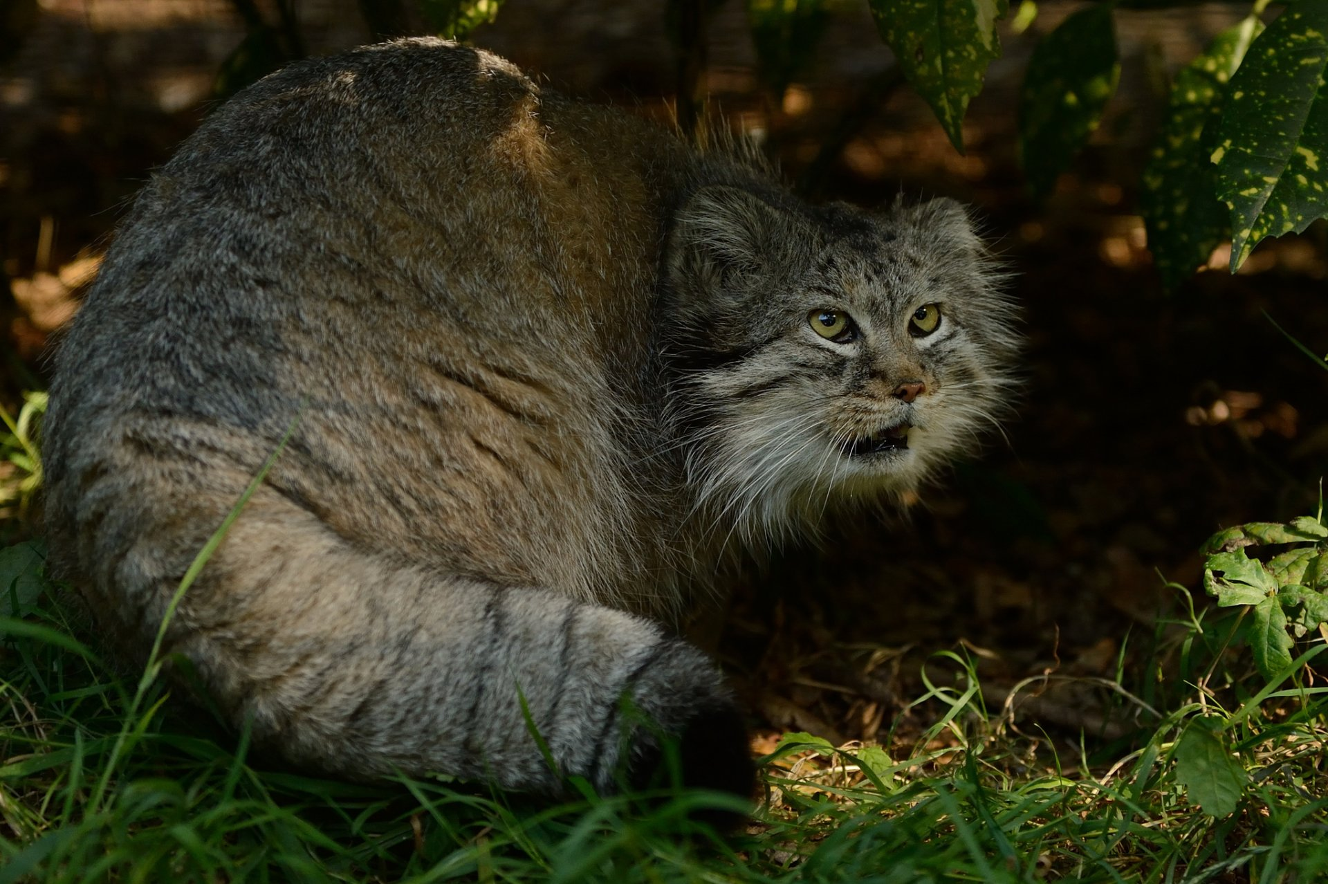 Обои на дереве, manul, палласов кот. Кошки foto 14