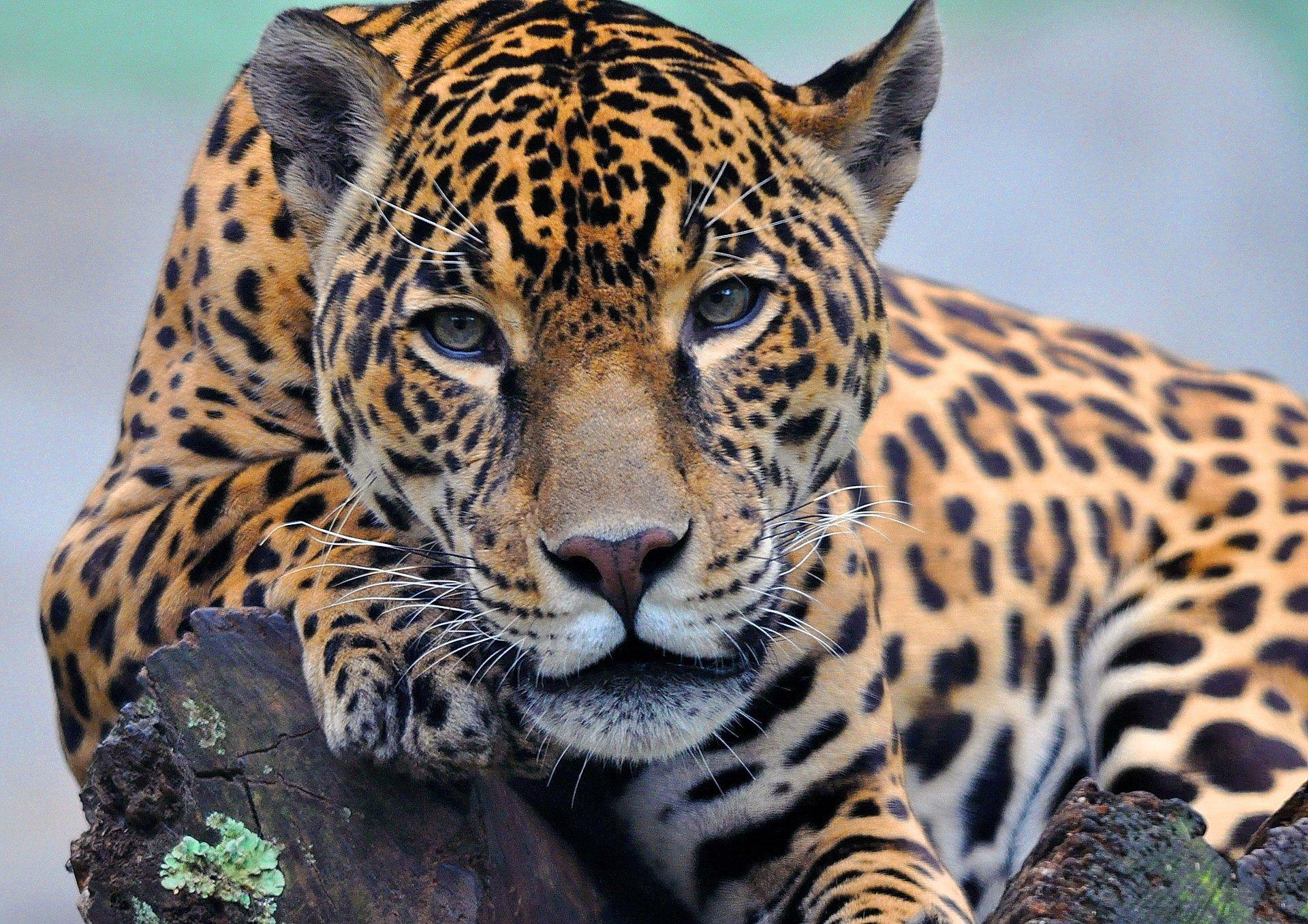 ягуар на лужайке скачать