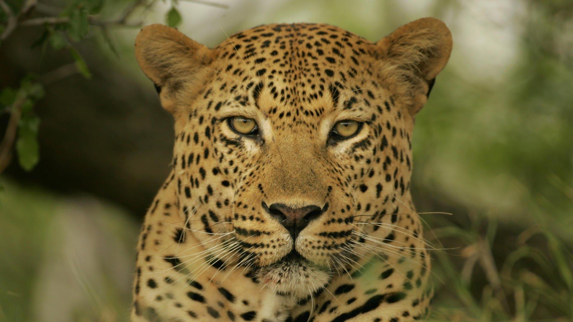 parambi leopard - HD
