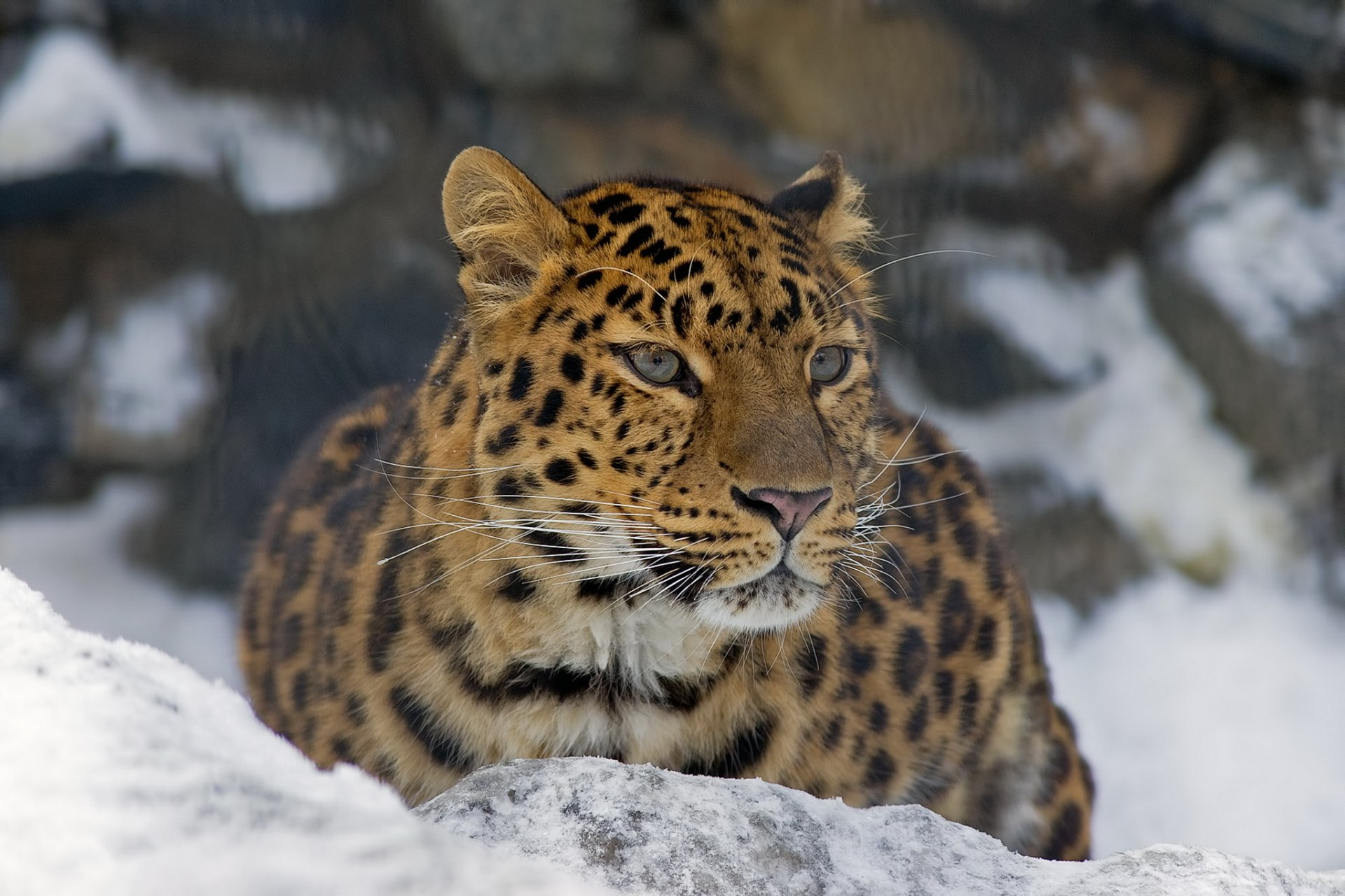 Картинки с леопардом фото, пожеланием