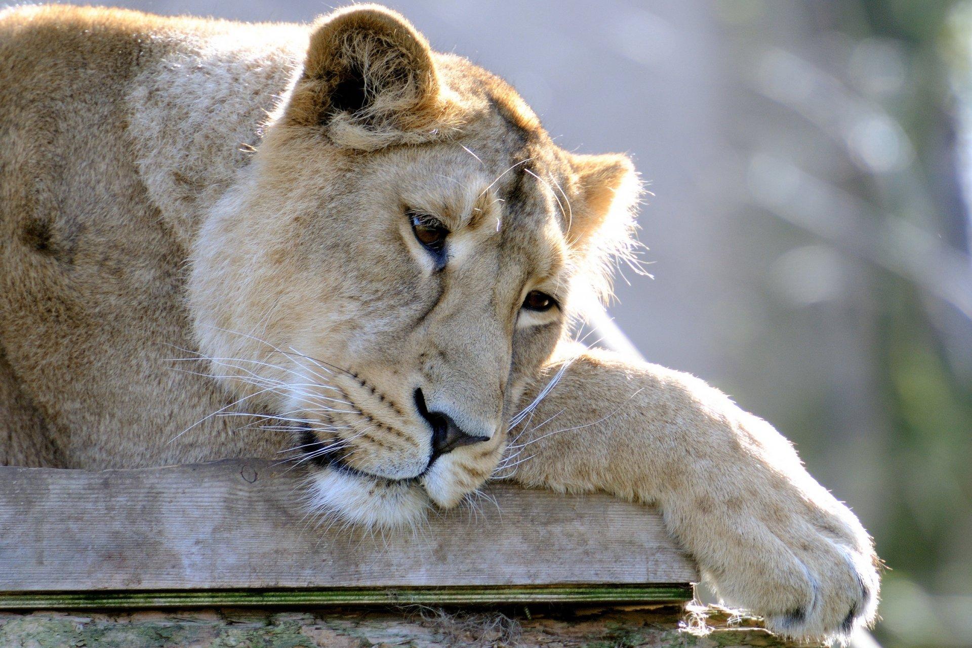 Картинка с львицей, открытка