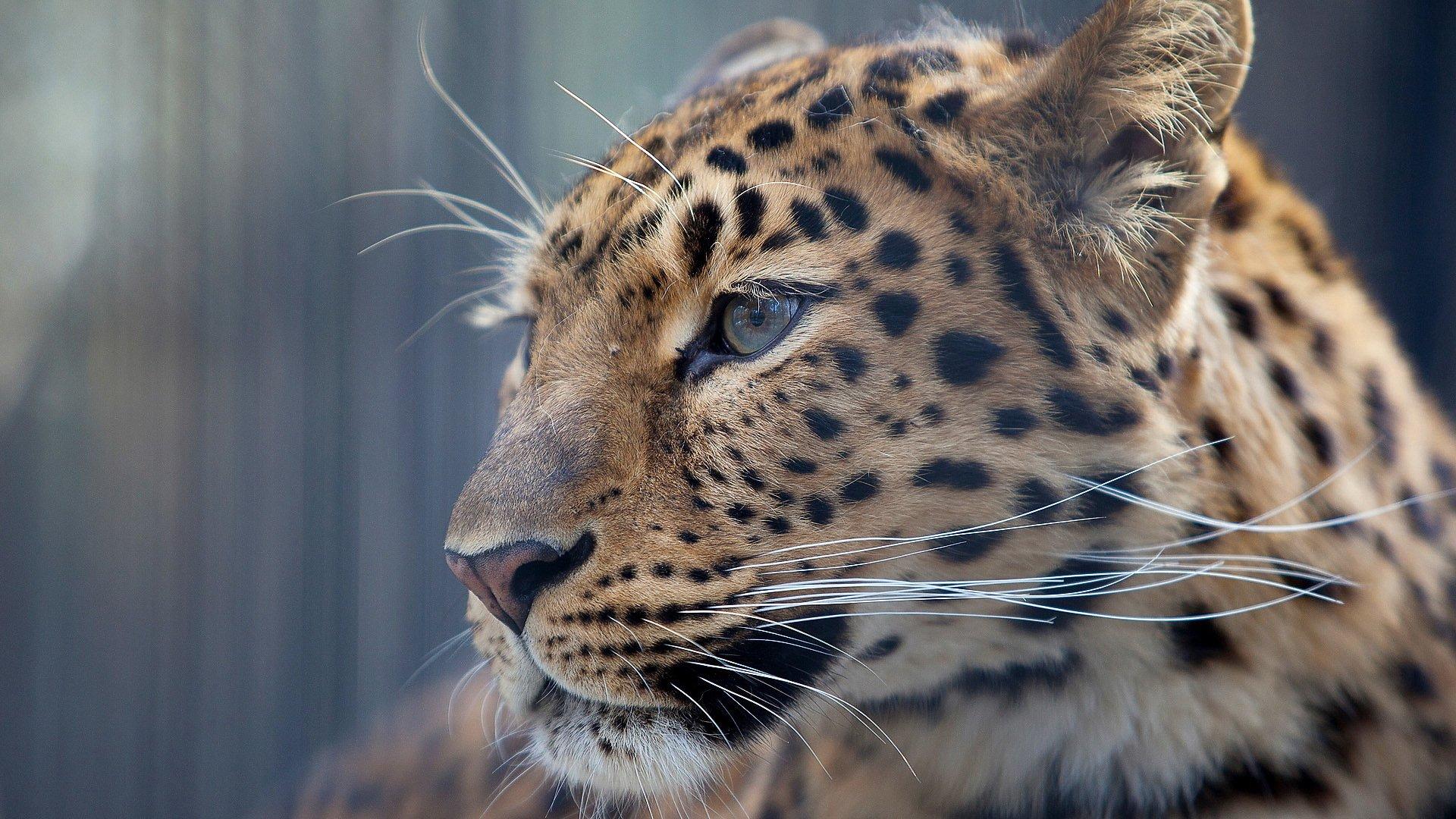 Картинка на фон леопард