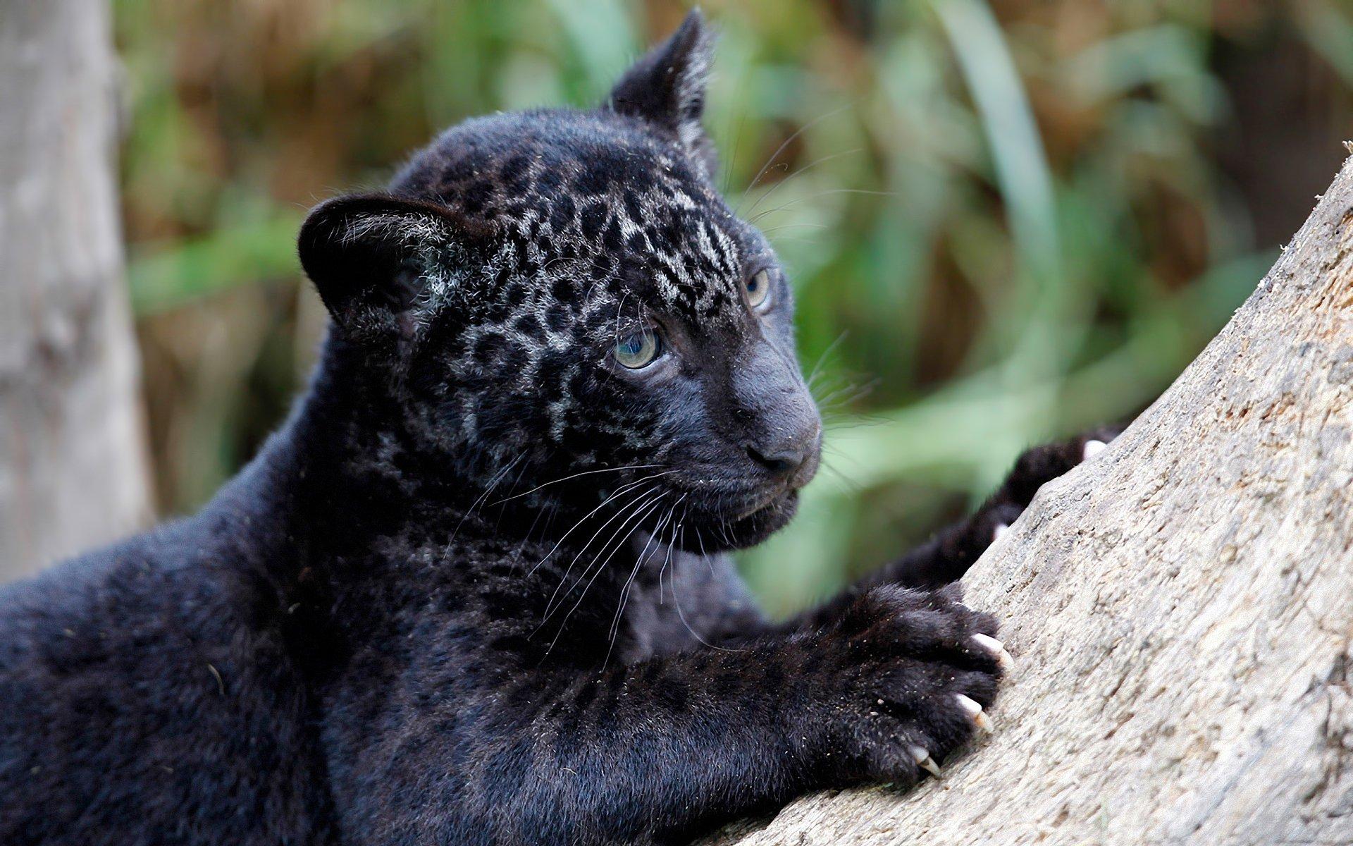 яркий стильный картинки пантер ягуаров пум сразу несколько