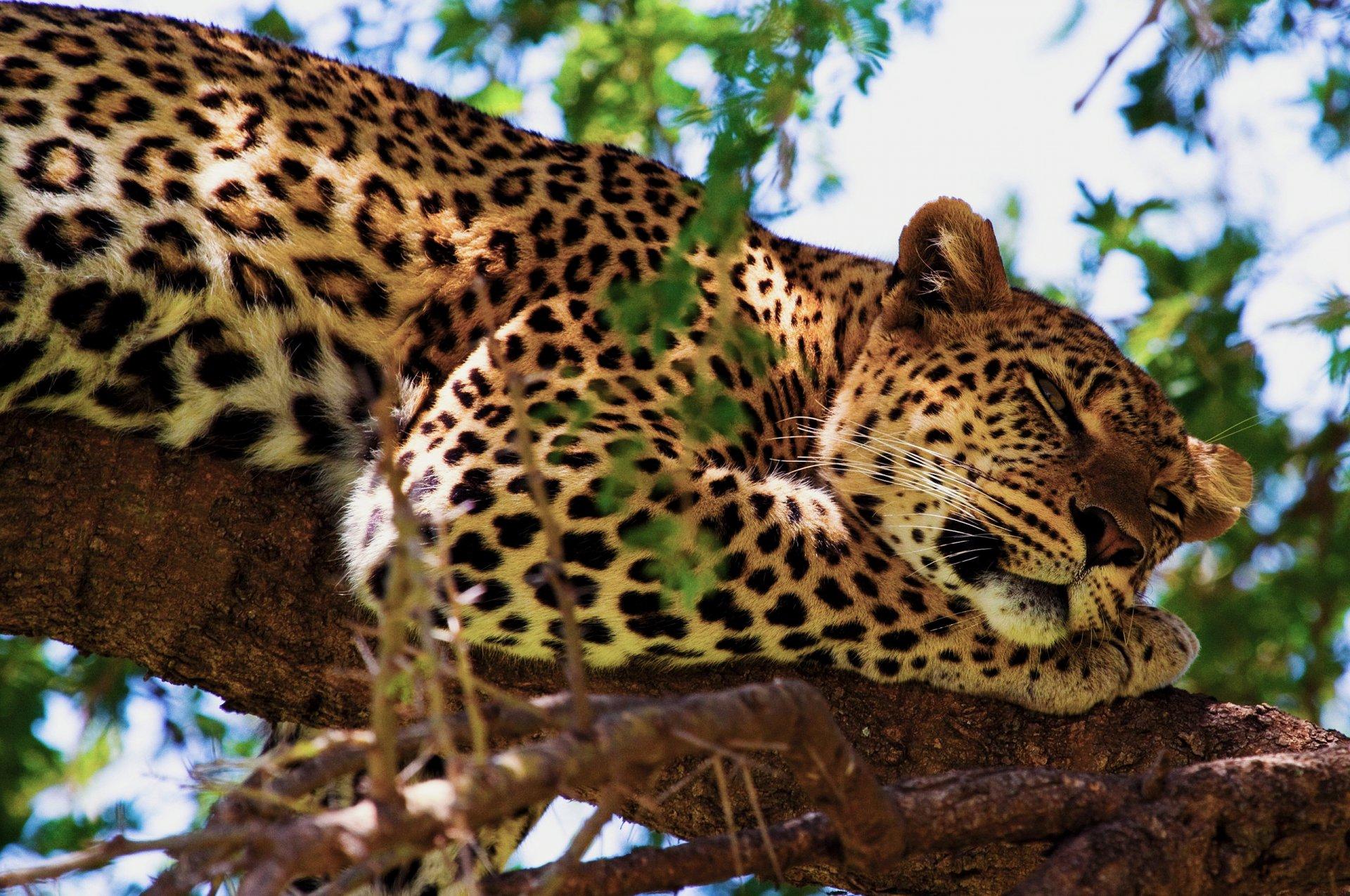 фото леопарда в природе что его