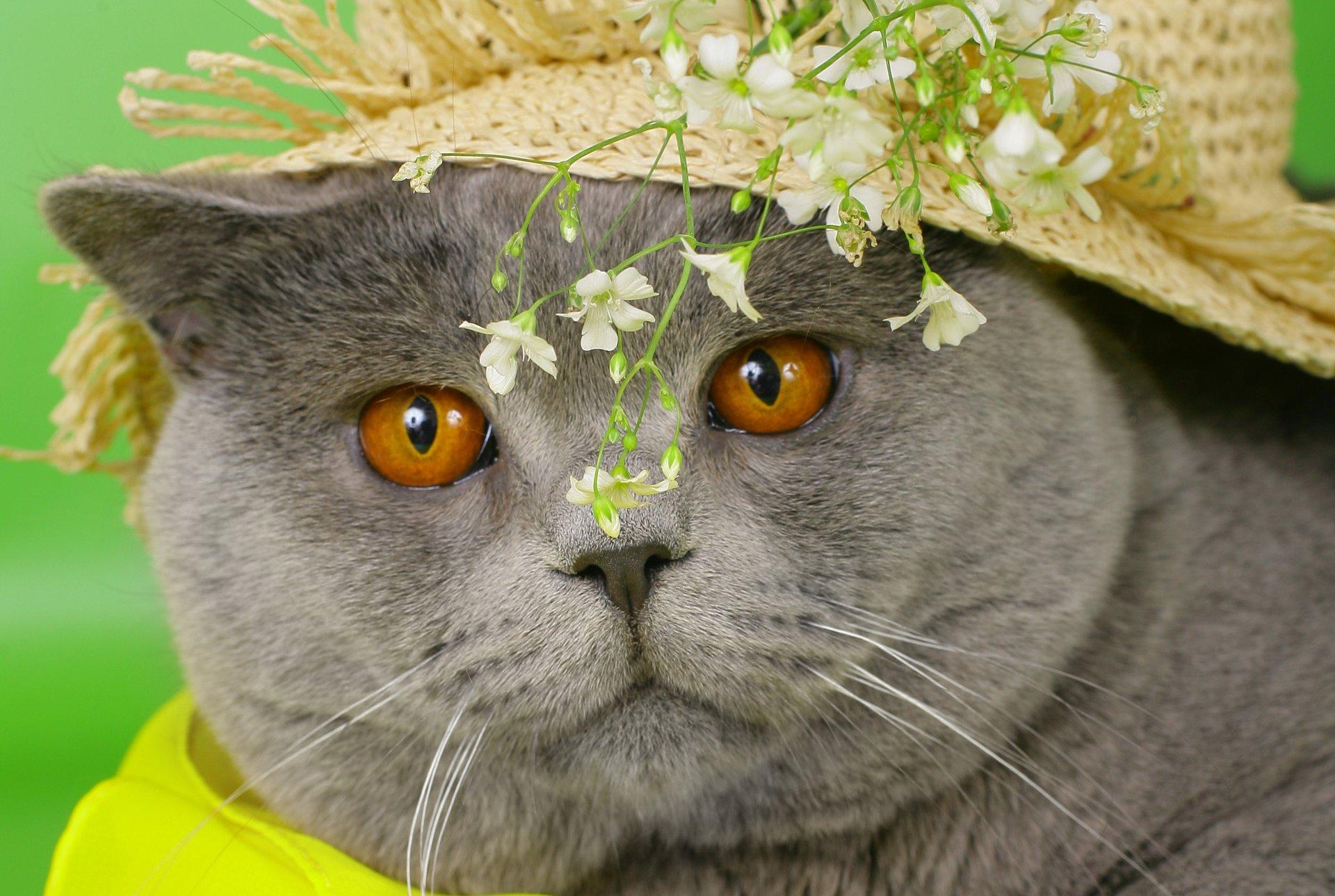 Обои шляпка, Кошка, кот. Кошки foto 15