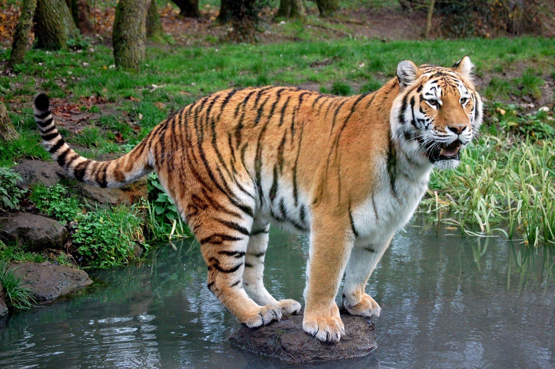 Днем защитника, картинки с тиграми