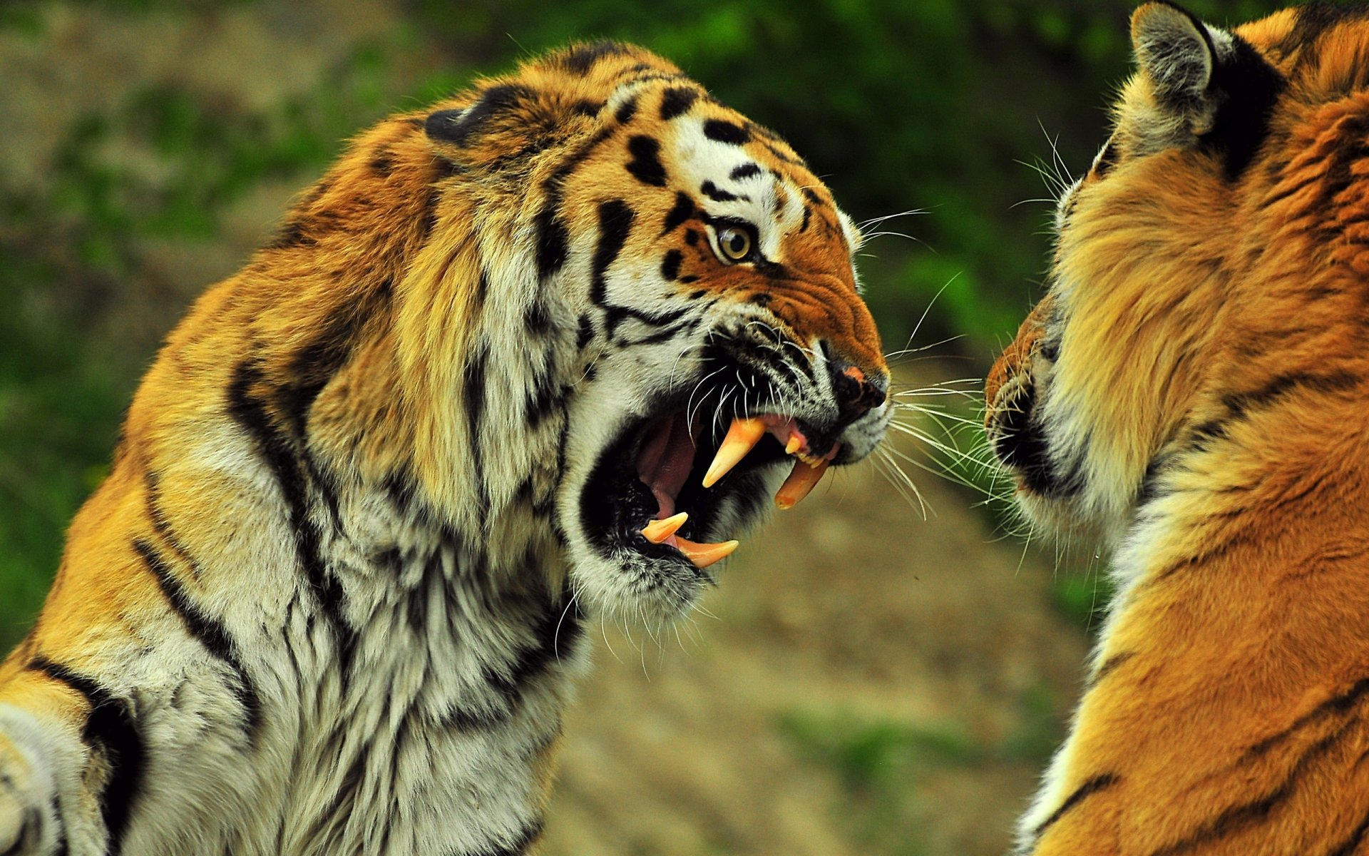 Safari Park - Official Site Pictures of lions tigers