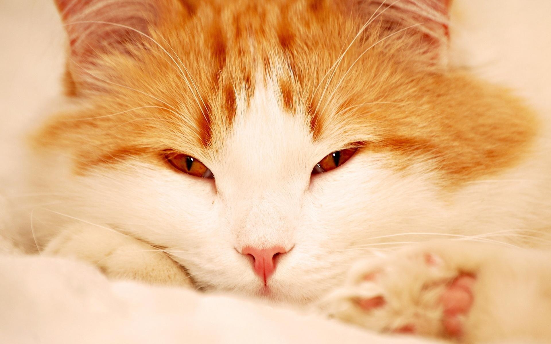 Балдеющий рыжий кот бесплатно