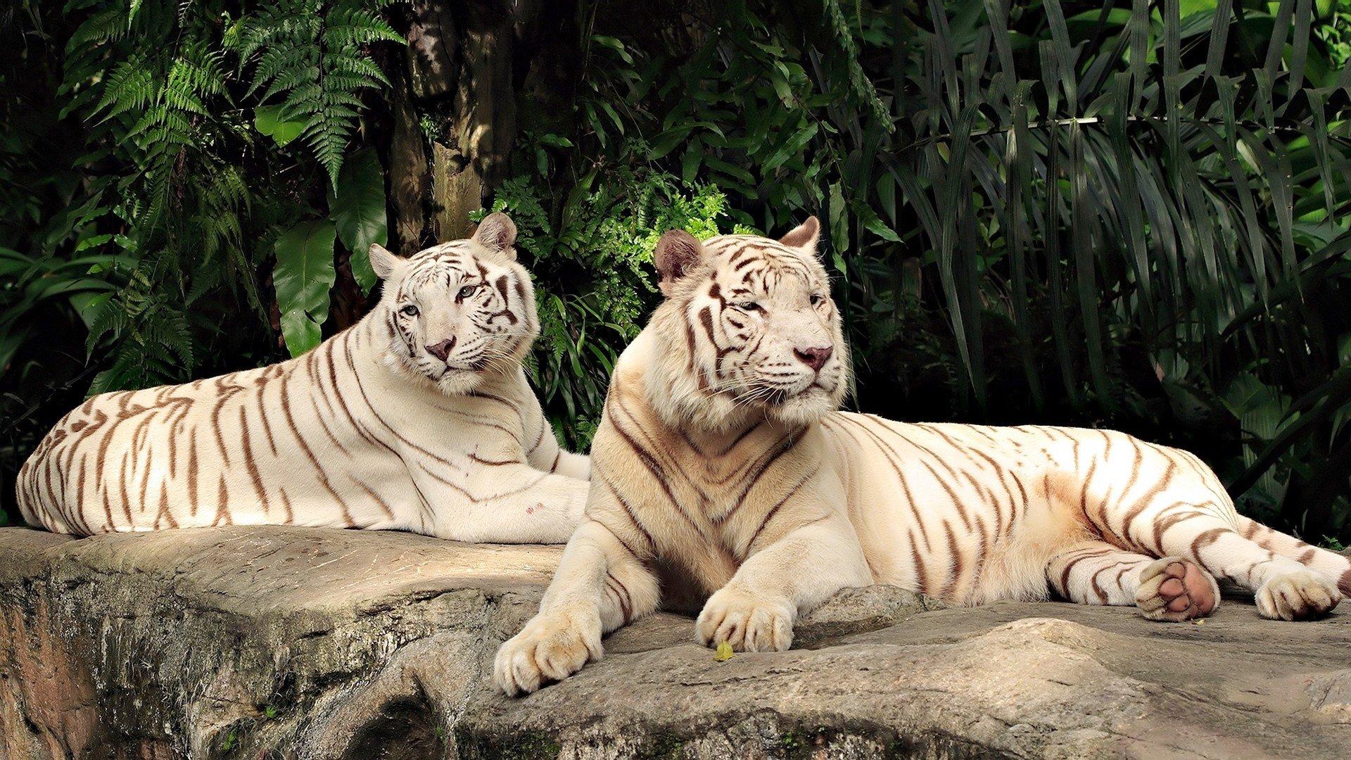 обои на телефон тигрята фотообои