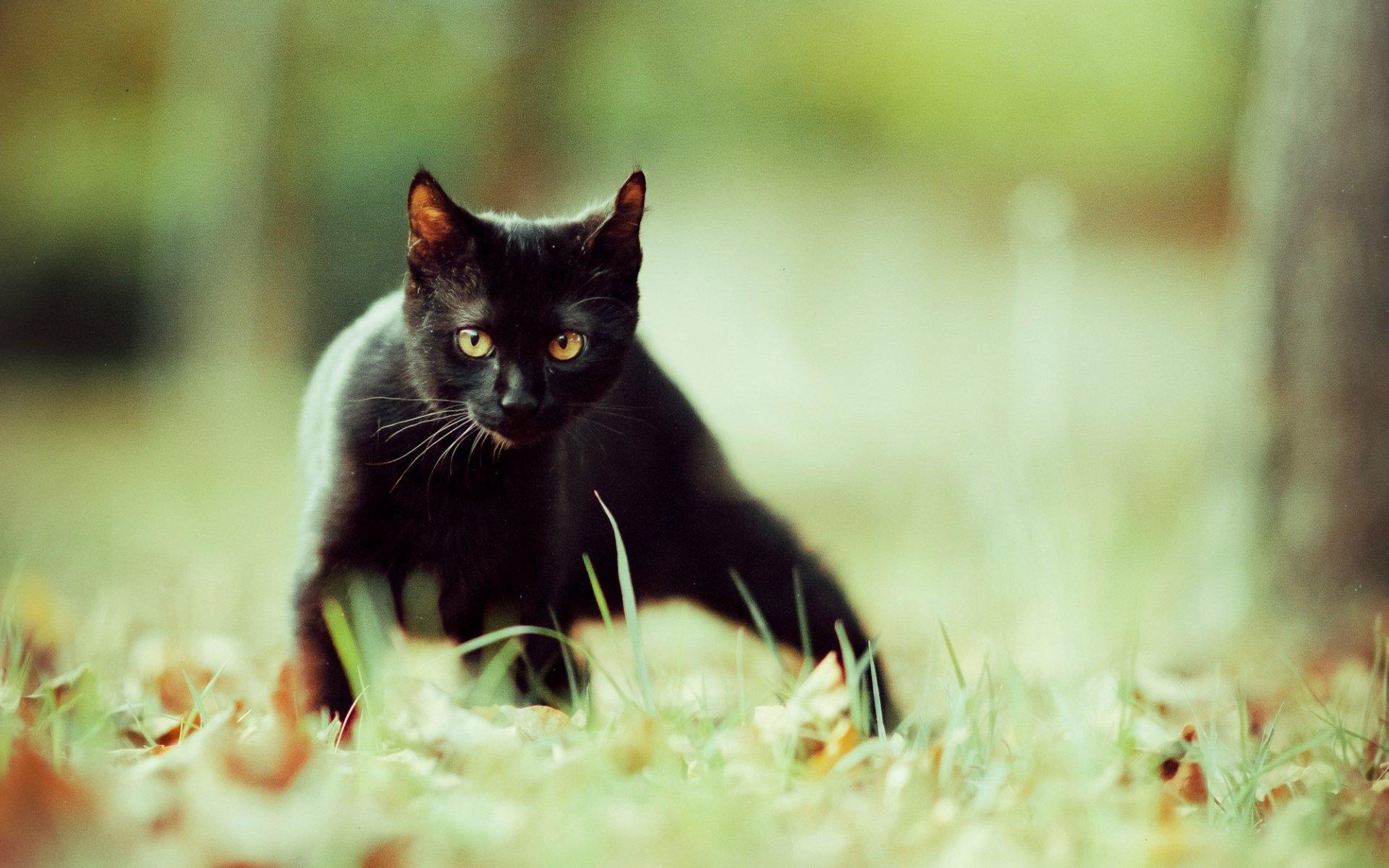 Персидская кошка фото описание породы характер видео цена