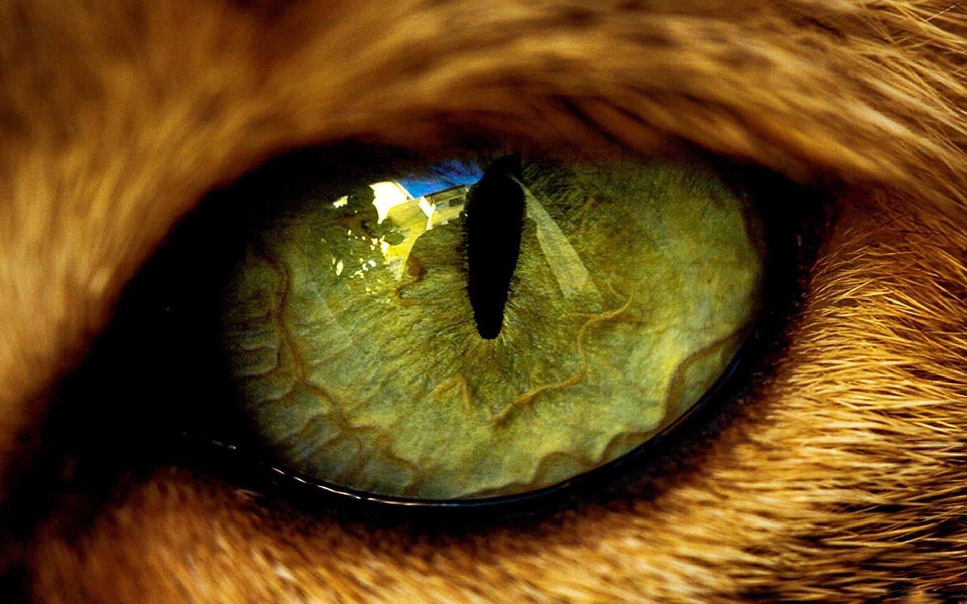 кошка глаза шерсть  № 1963588 загрузить