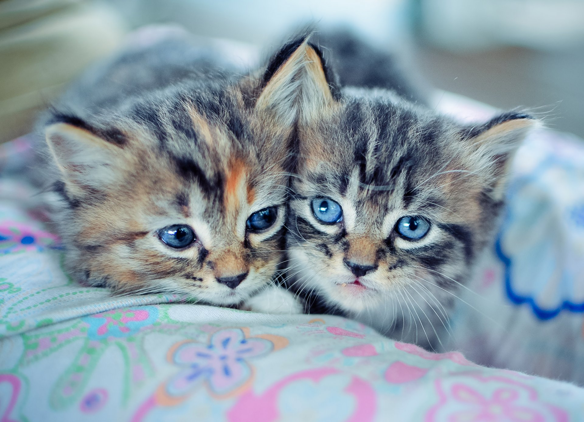обои на рабочий стол два котенка торжественный