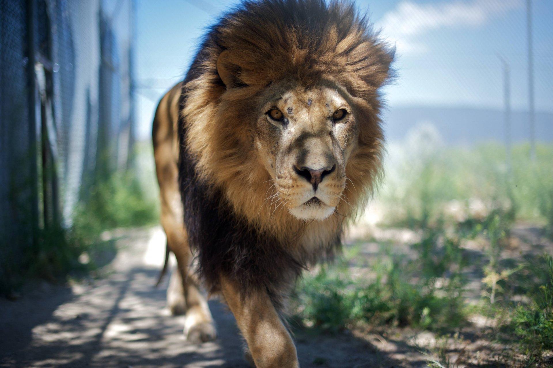 Марта, открытка лев царь зверей