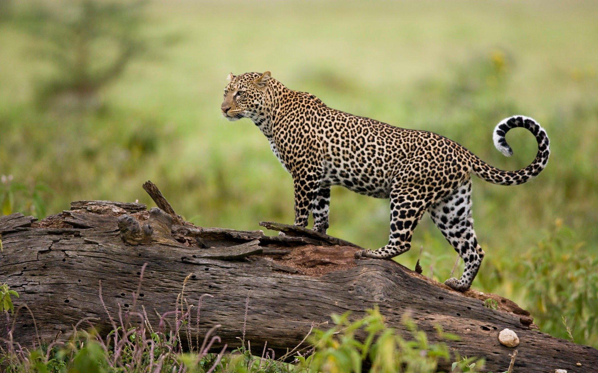 сожалению, фото леопарда в природе аверсе