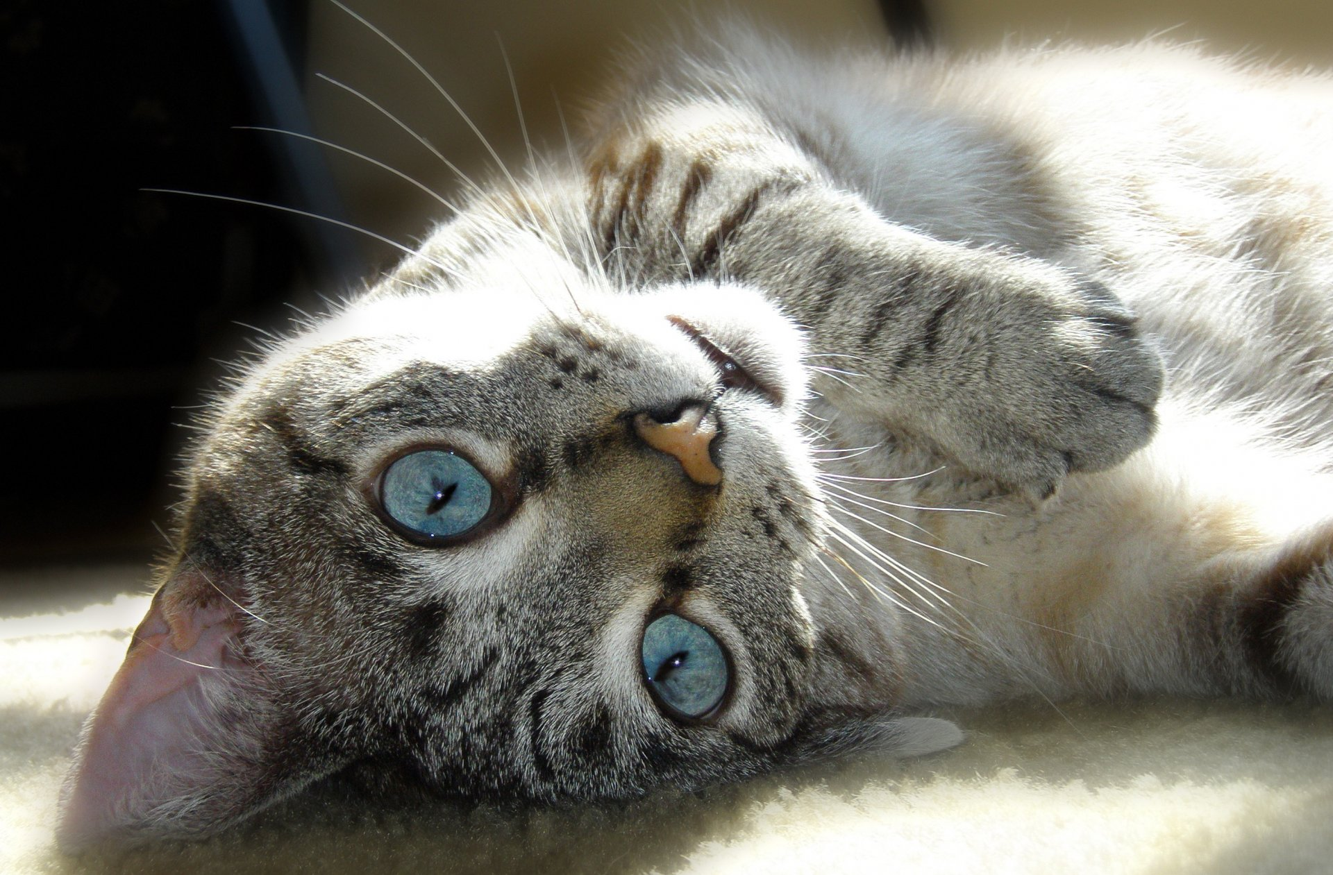 кошка глаза шерсть  № 1963688 загрузить