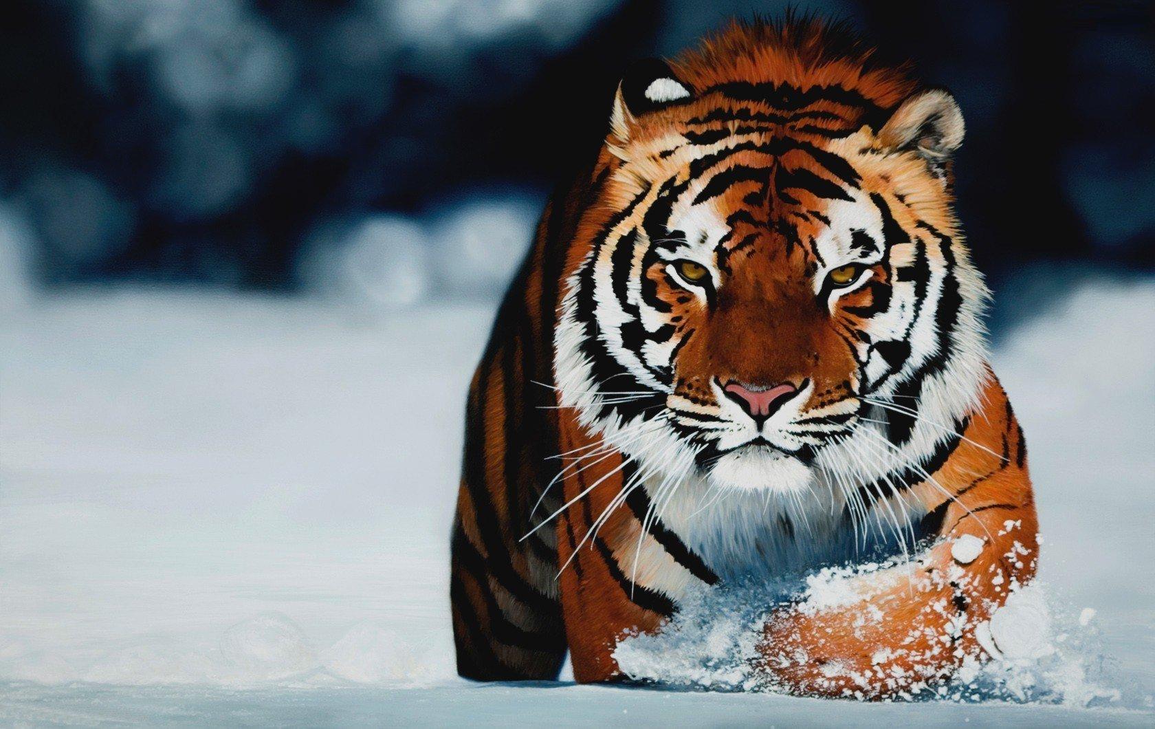 можете картинки для планшета тигр студенты